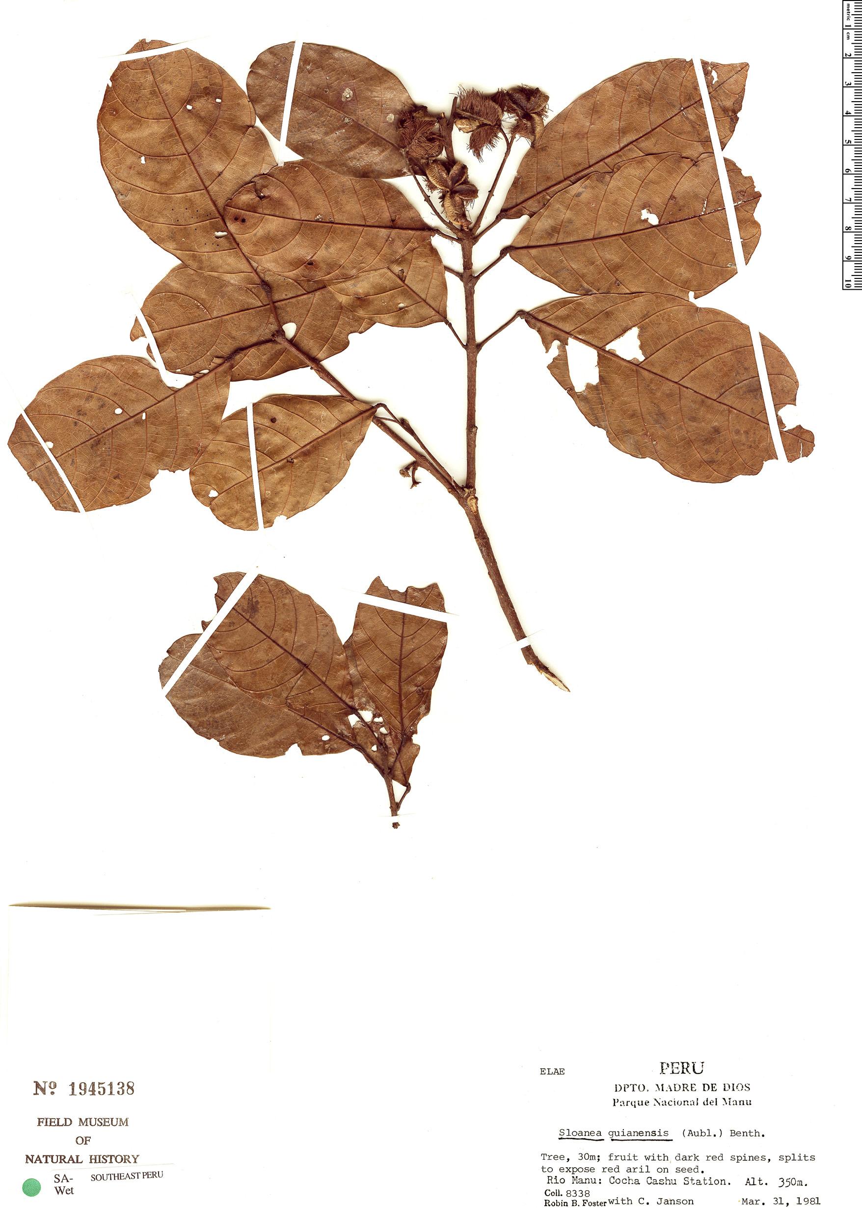 Specimen: Sloanea guianensis