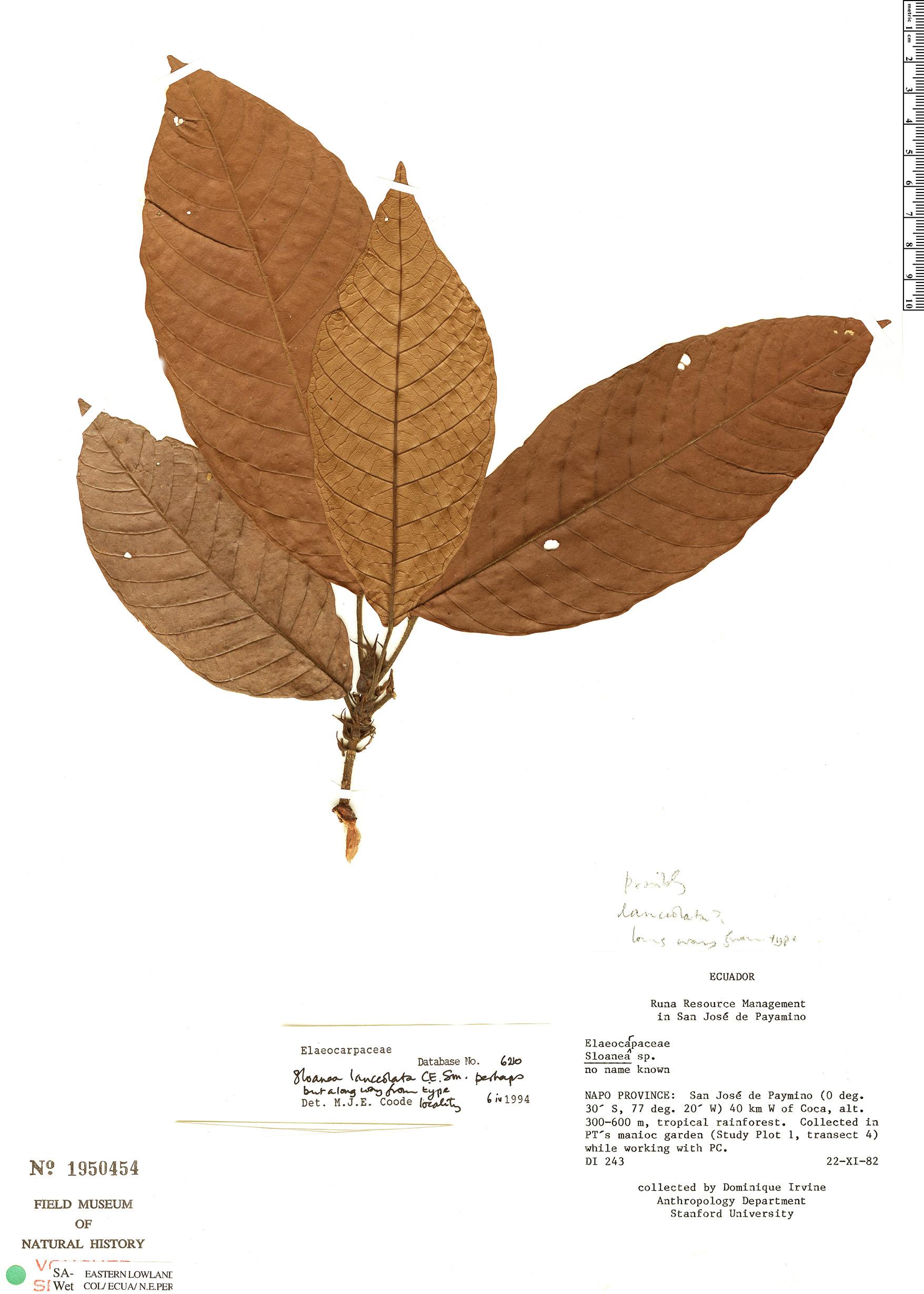 Specimen: Sloanea grandezii