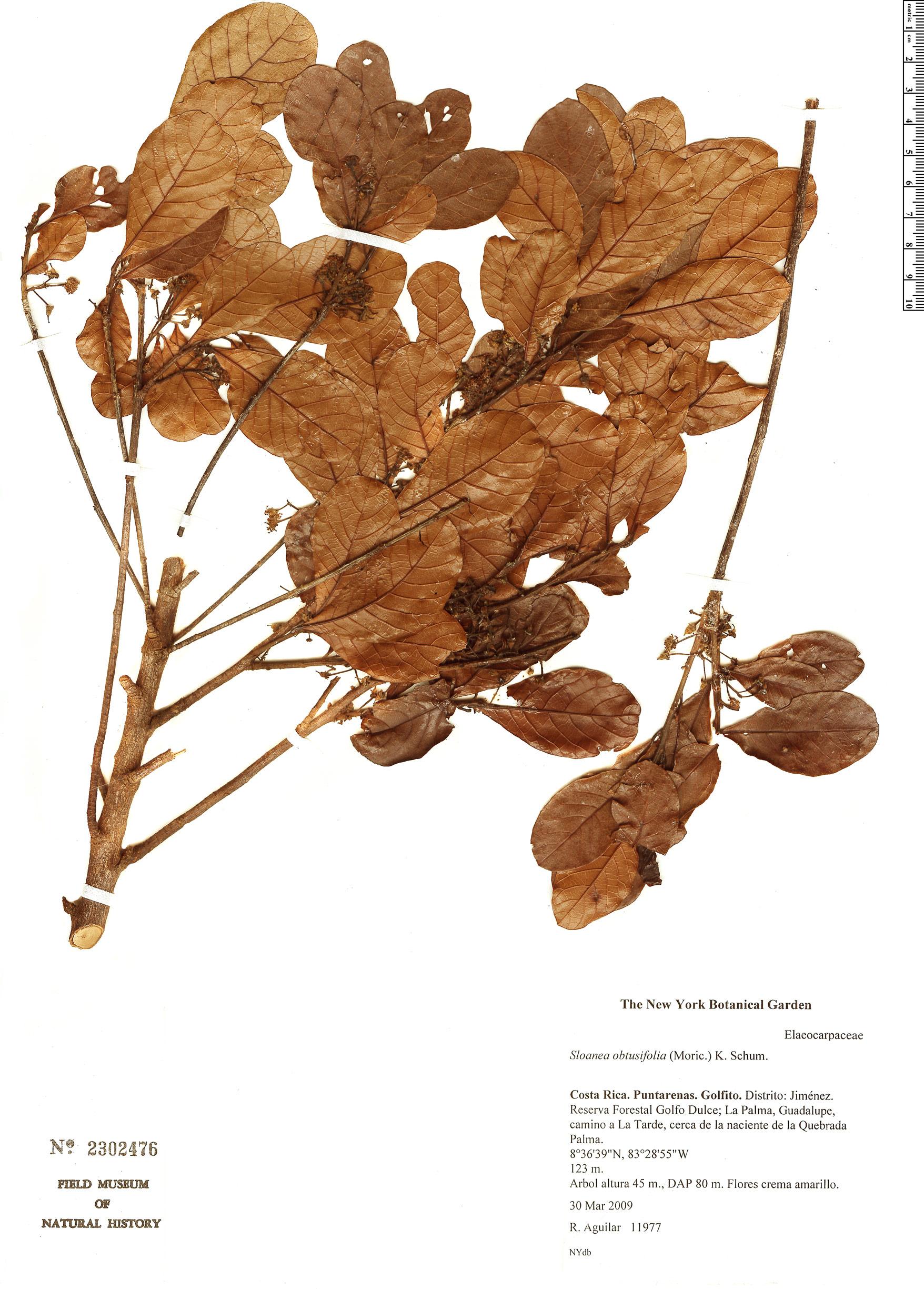 Specimen: Sloanea obtusifolia