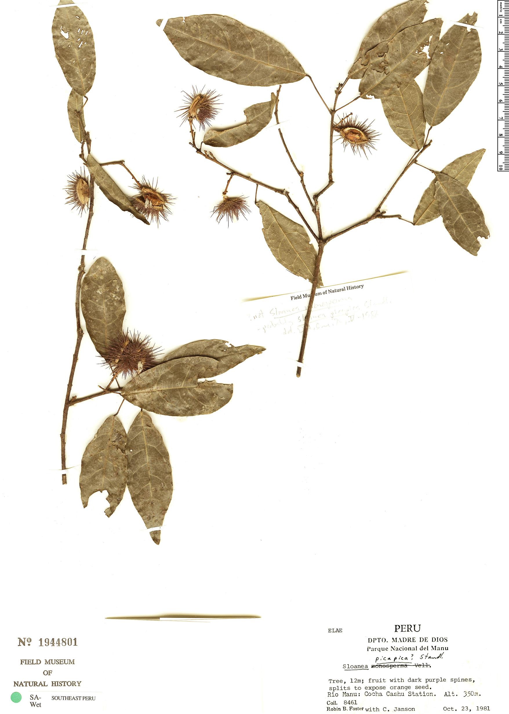 Specimen: Sloanea picapica