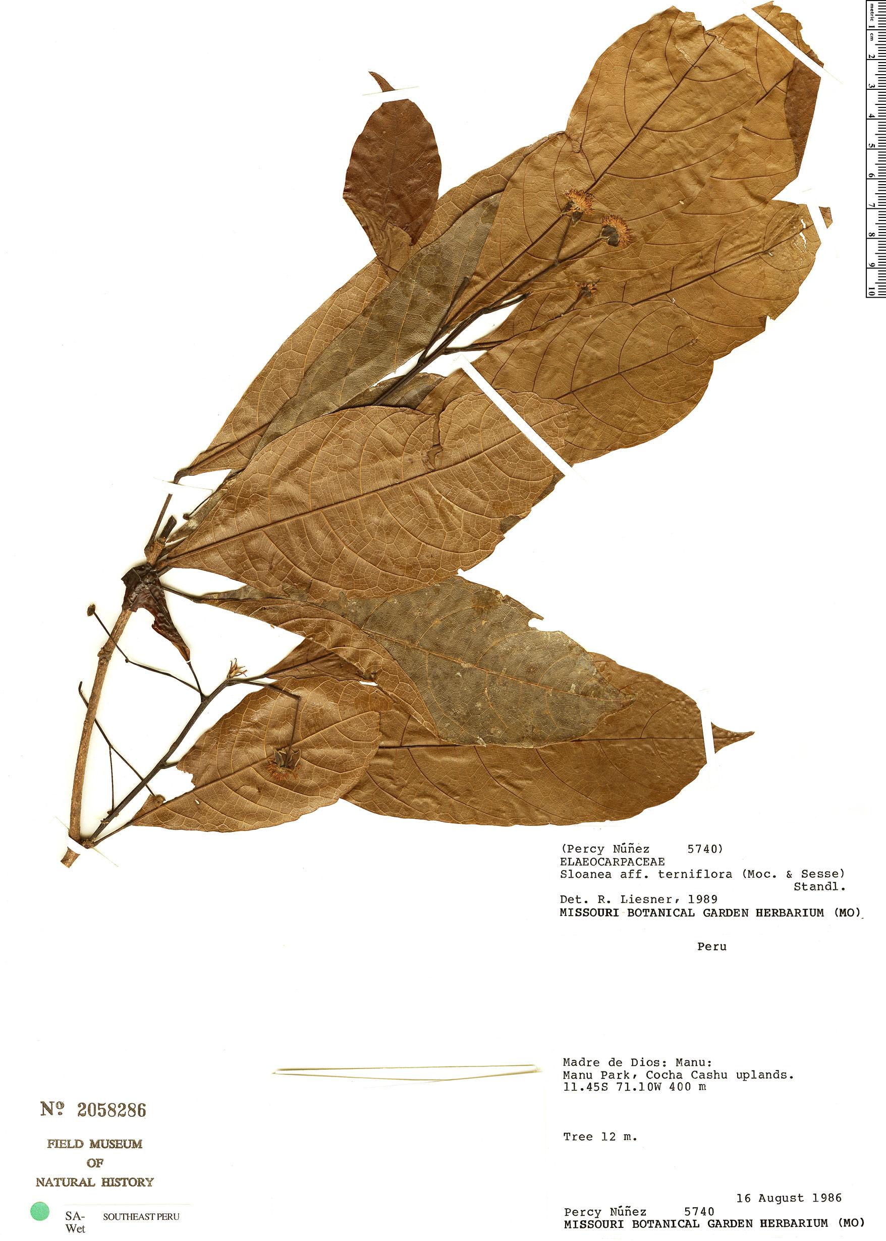 Specimen: Sloanea garckeana
