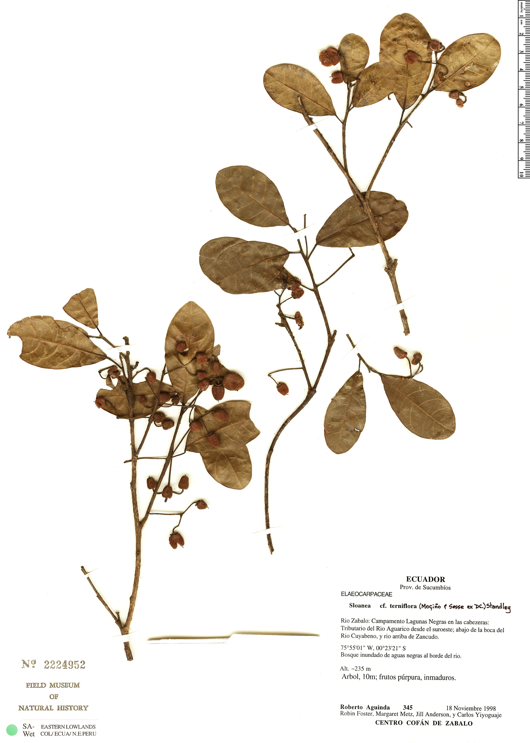 Specimen: Sloanea terniflora
