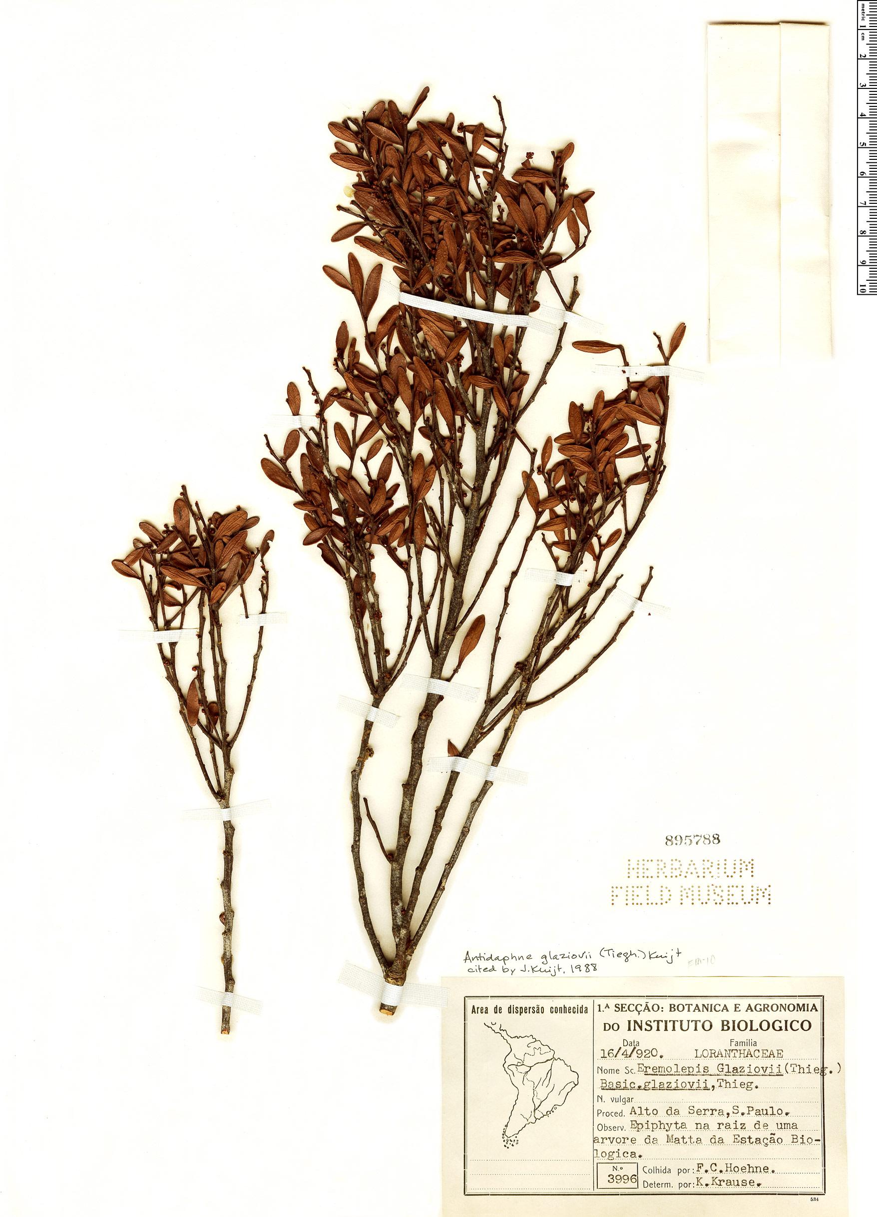 Specimen: Antidaphne glaziovii