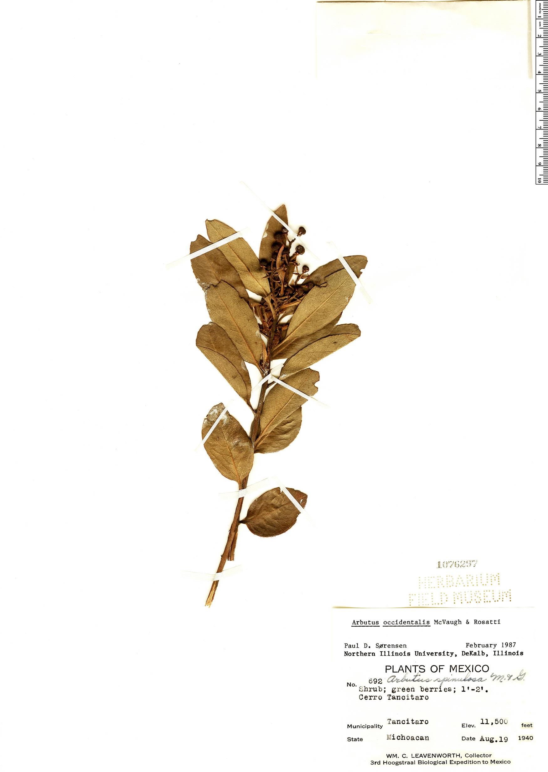 Specimen: Arbutus occidentalis