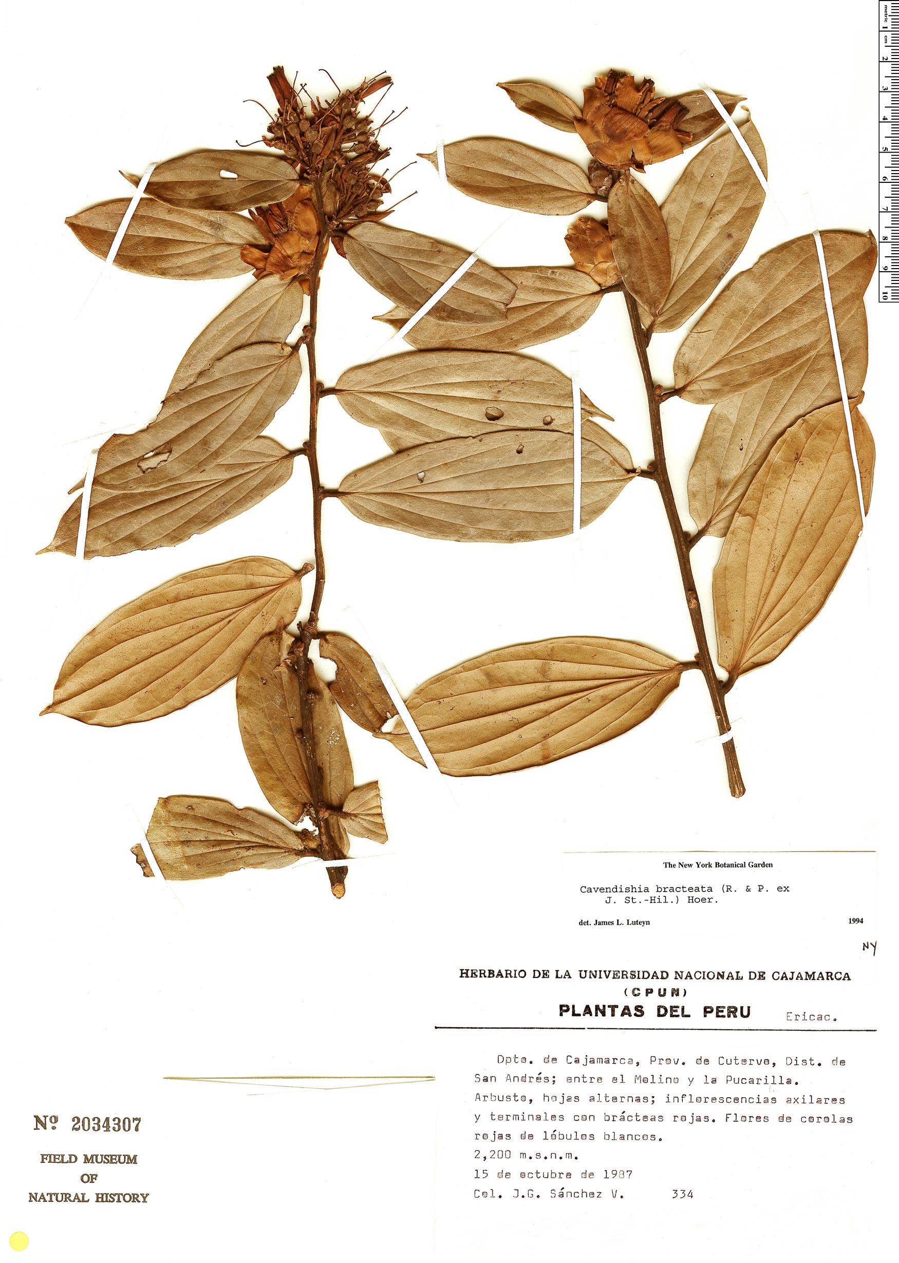 Espécimen: Cavendishia bracteata