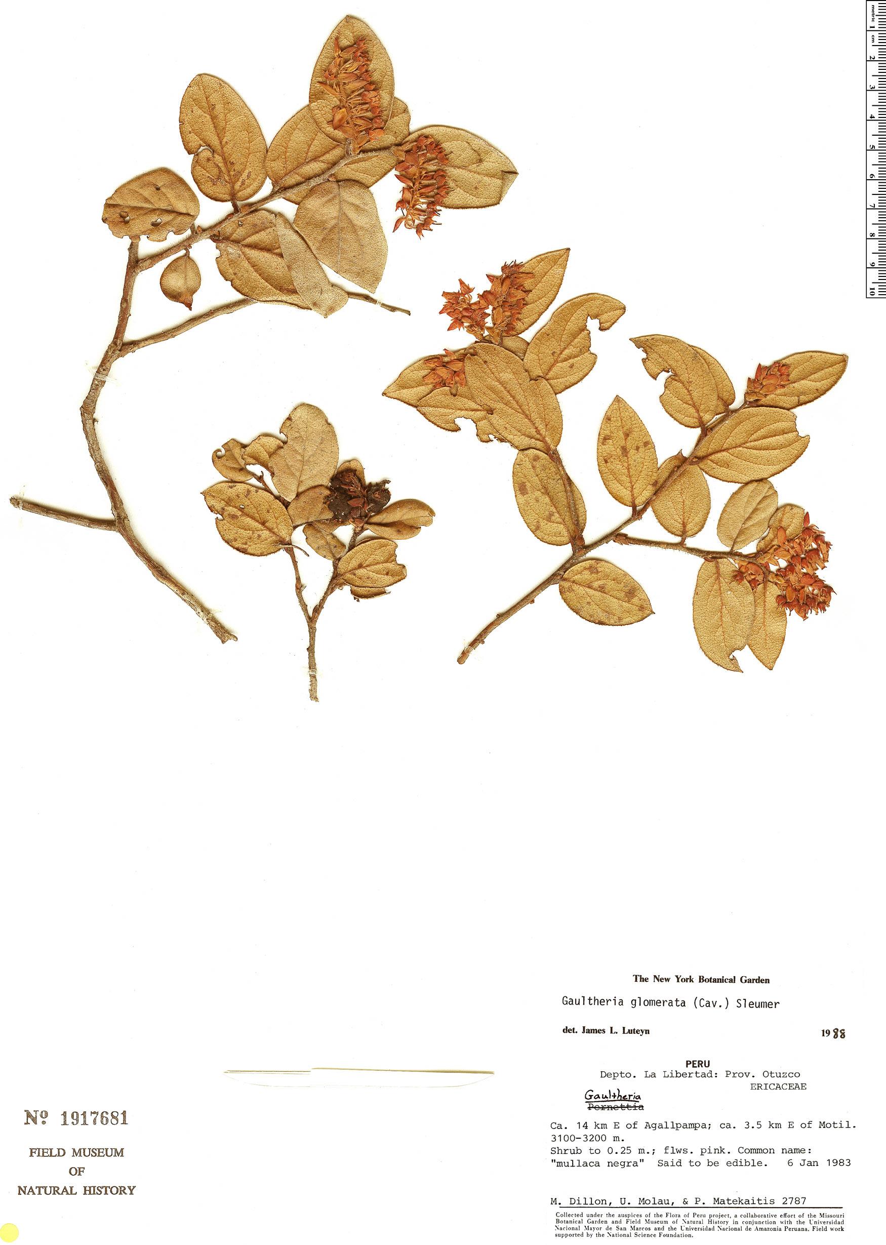 Specimen: Gaultheria glomerata