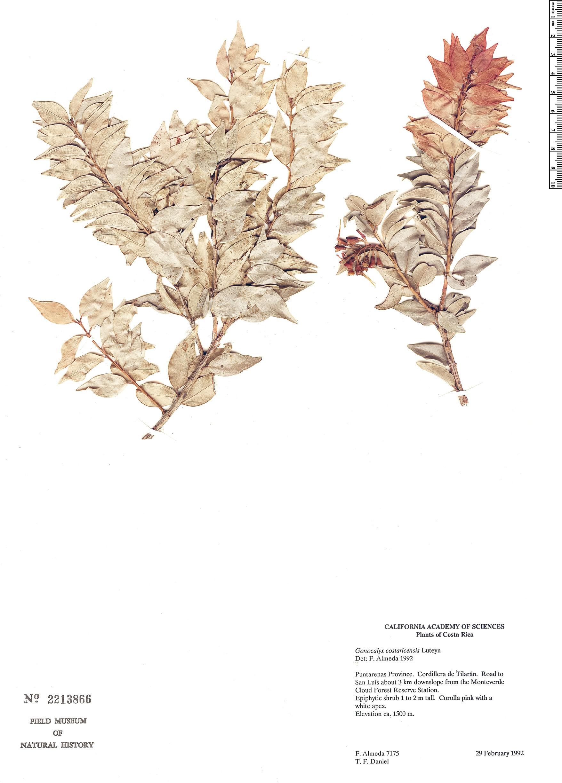 Espécimen: Gonocalyx costaricensis