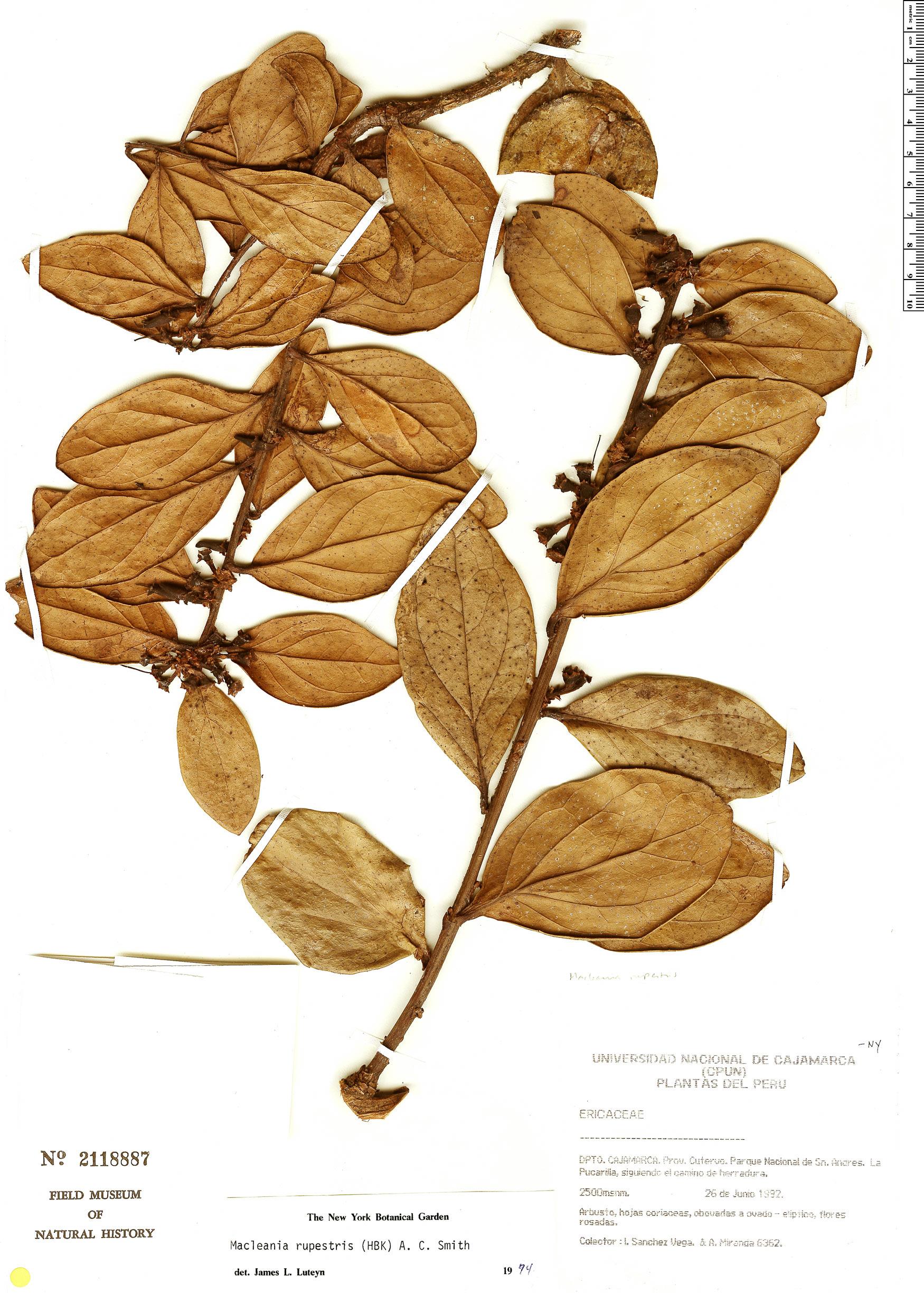 Specimen: Macleania rupestris