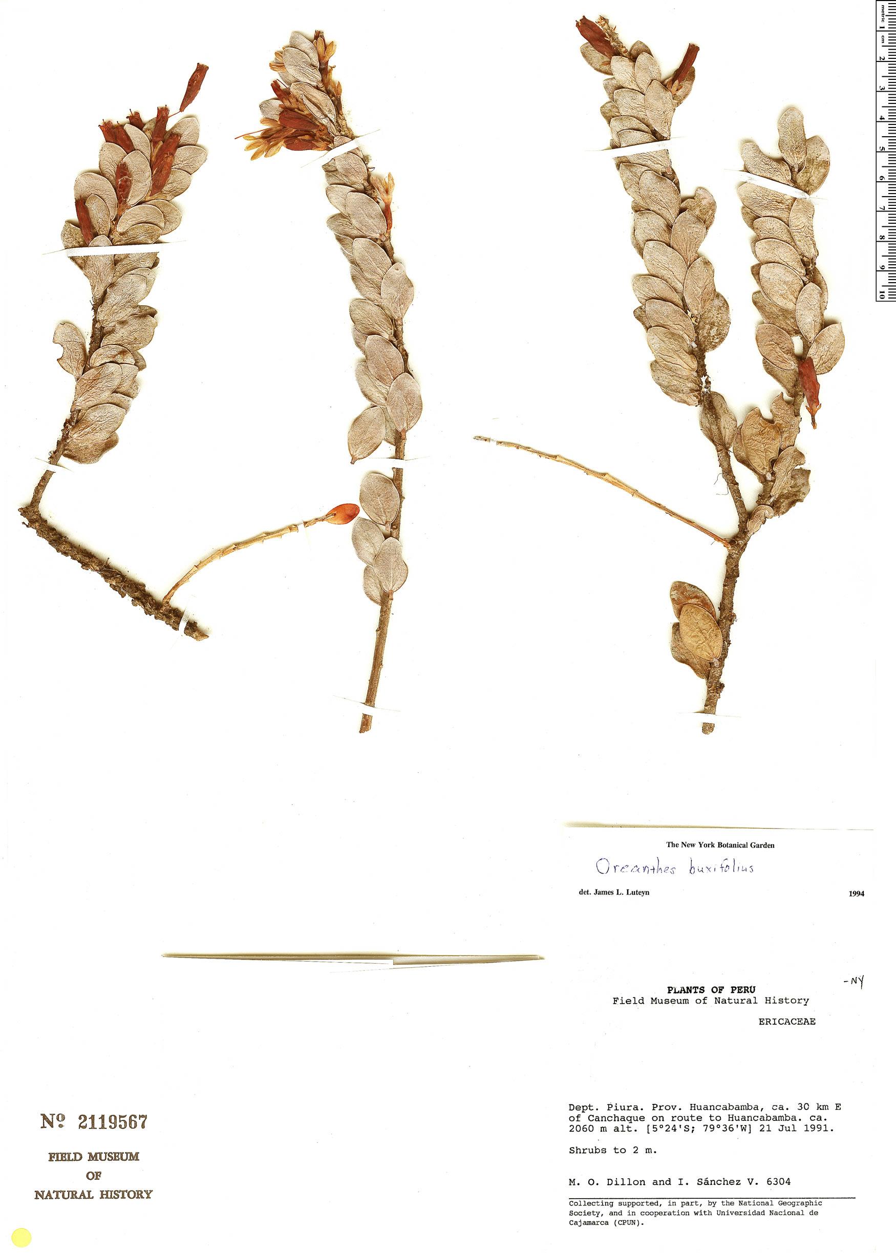 Specimen: Oreanthes buxifolius