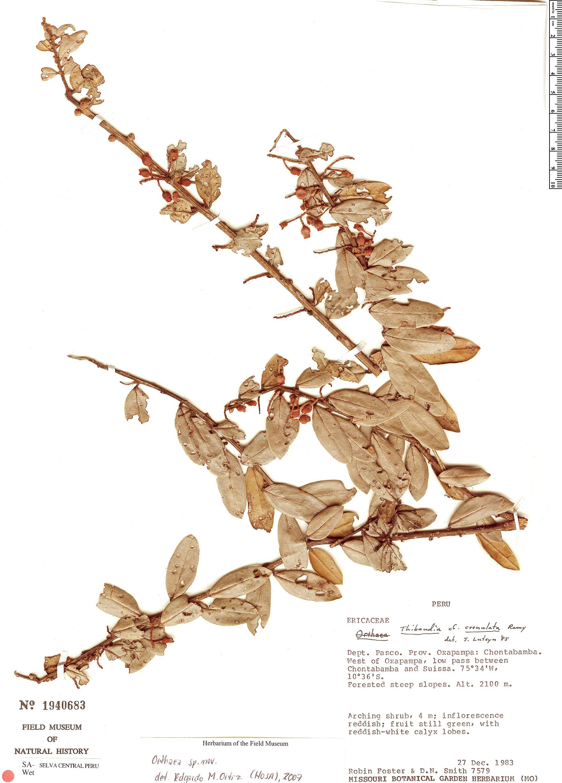 Espécimen: Orthaea bullata