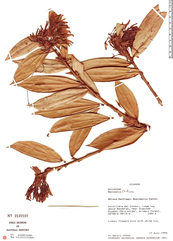 Specimen: Orthaea secundiflora