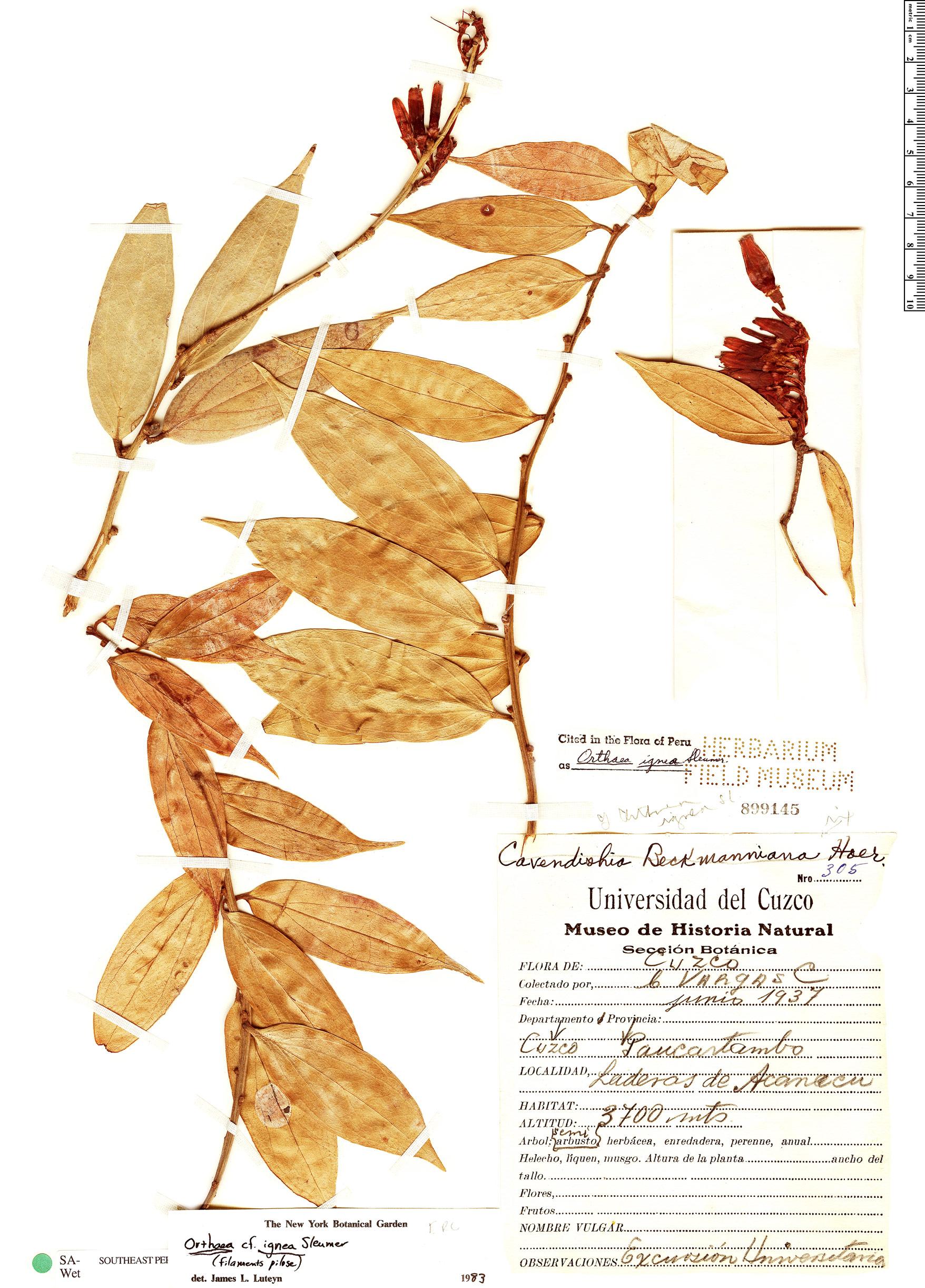 Specimen: Orthaea weberbaueri