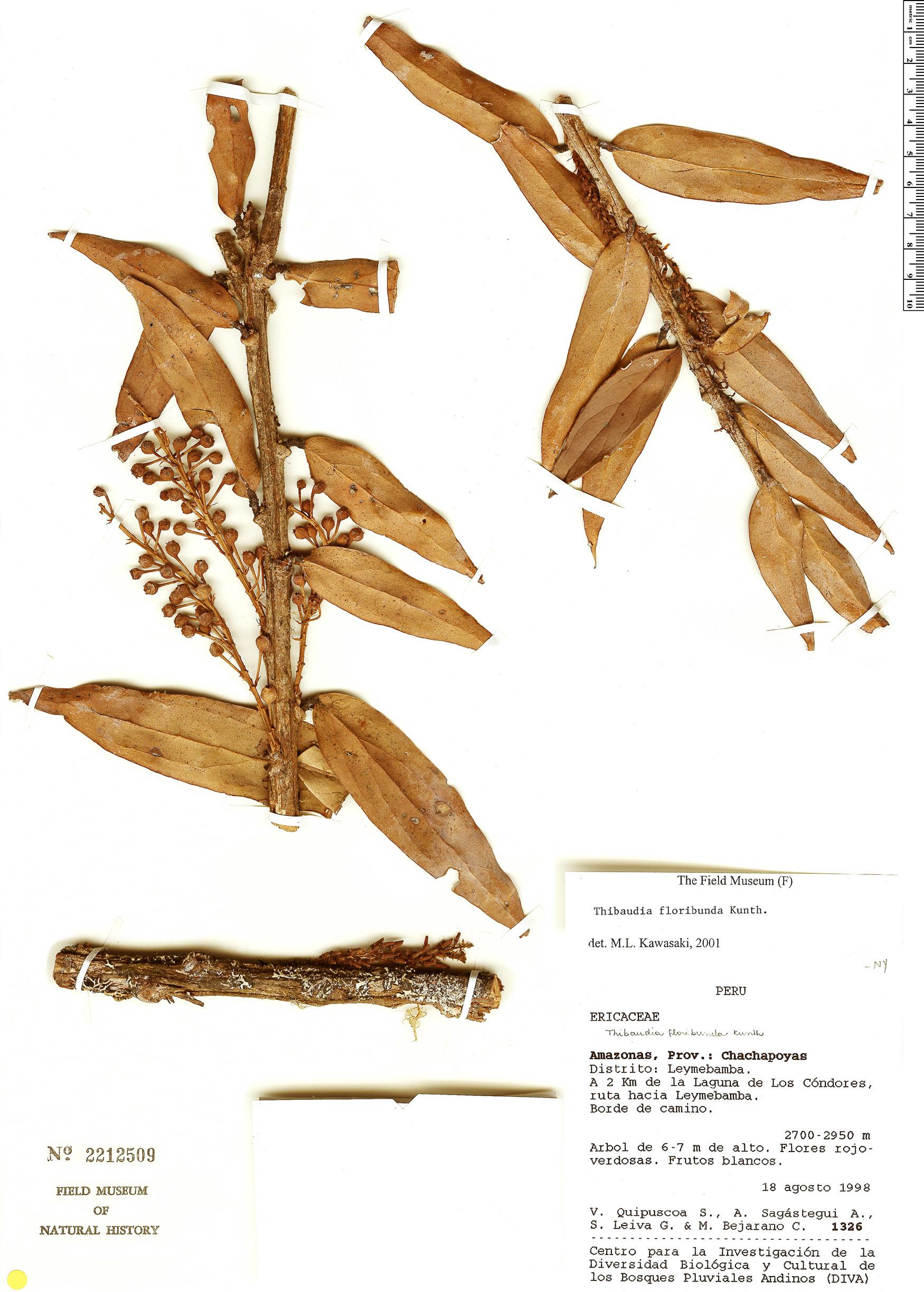 Specimen: Thibaudia floribunda