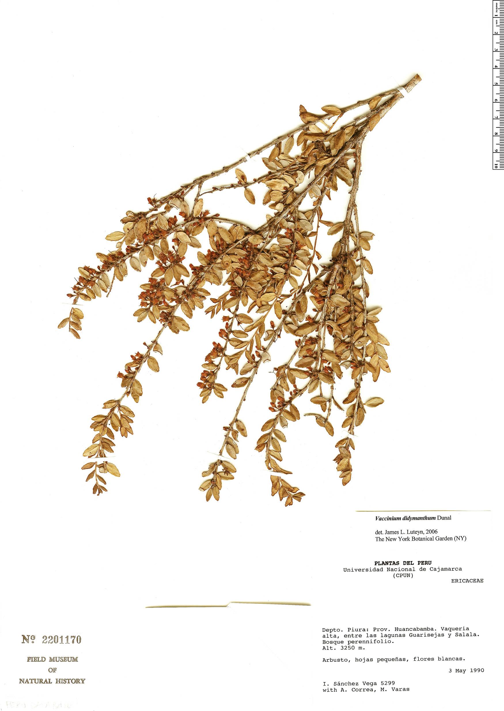 Specimen: Vaccinium didymanthum