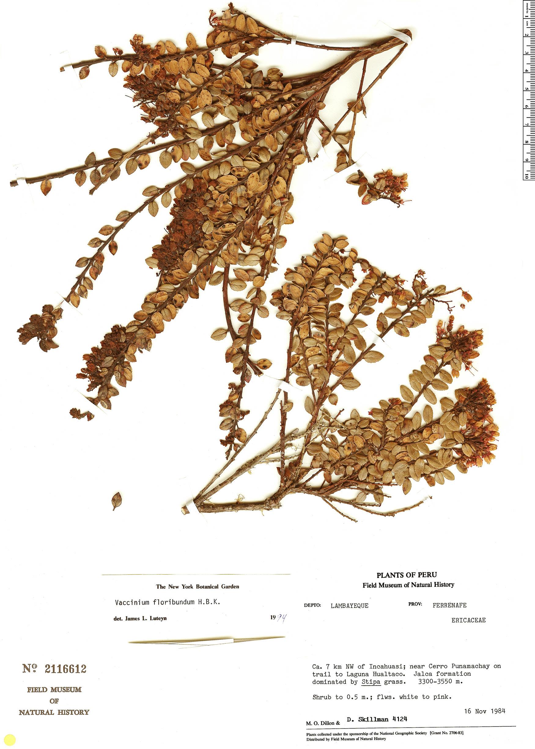 Espécimen: Vaccinium floribundum
