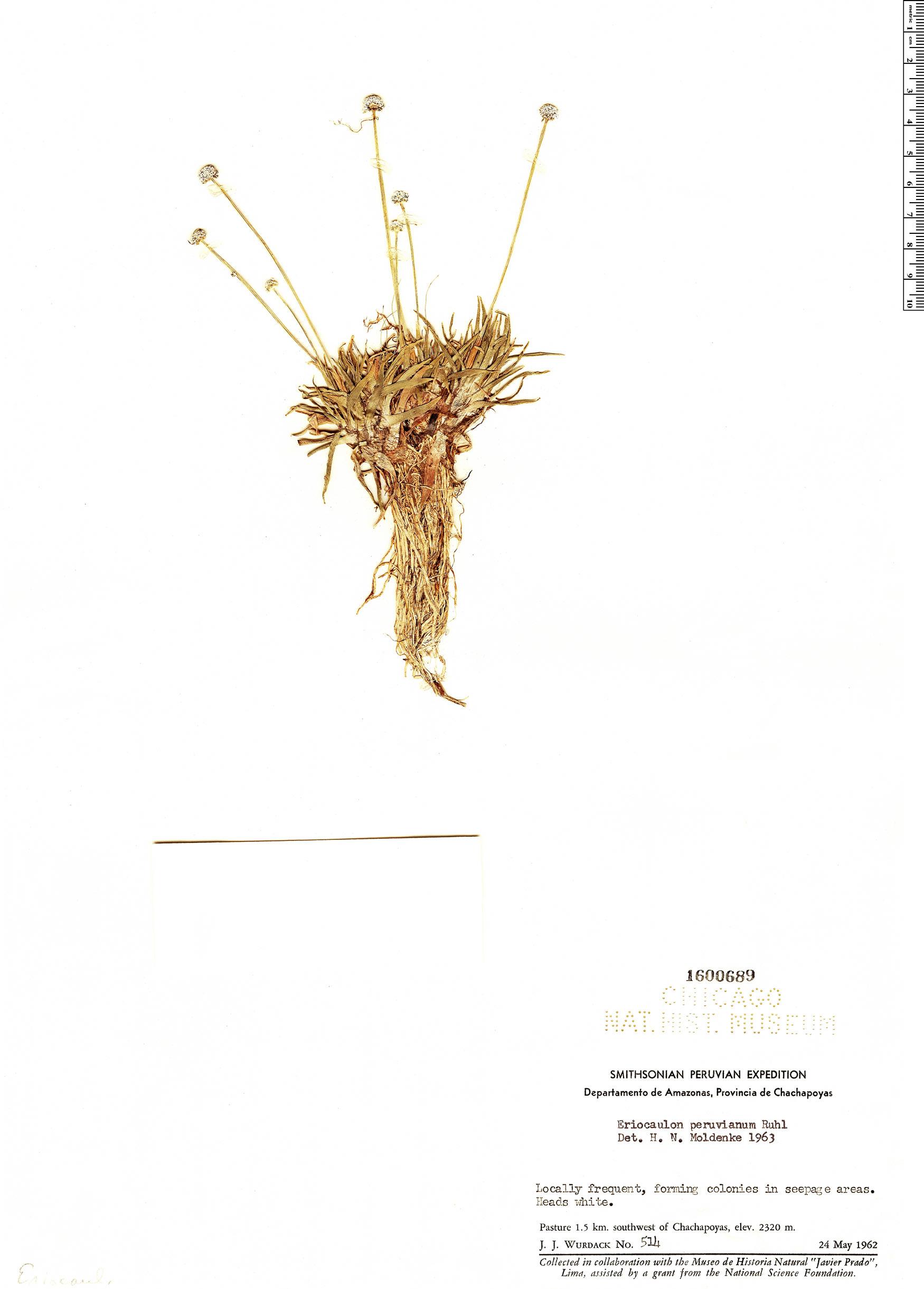 Specimen: Eriocaulon peruvianum