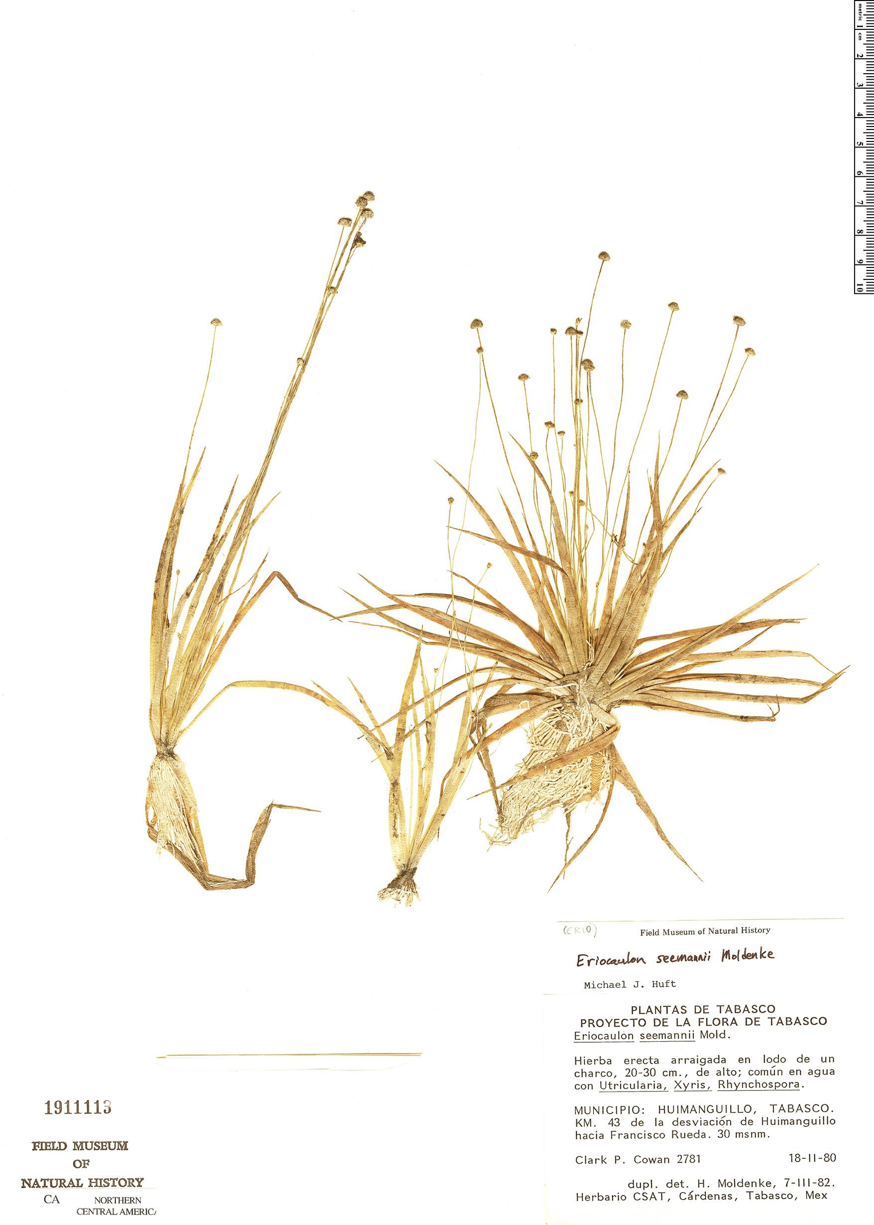 Specimen: Eriocaulon seemannii