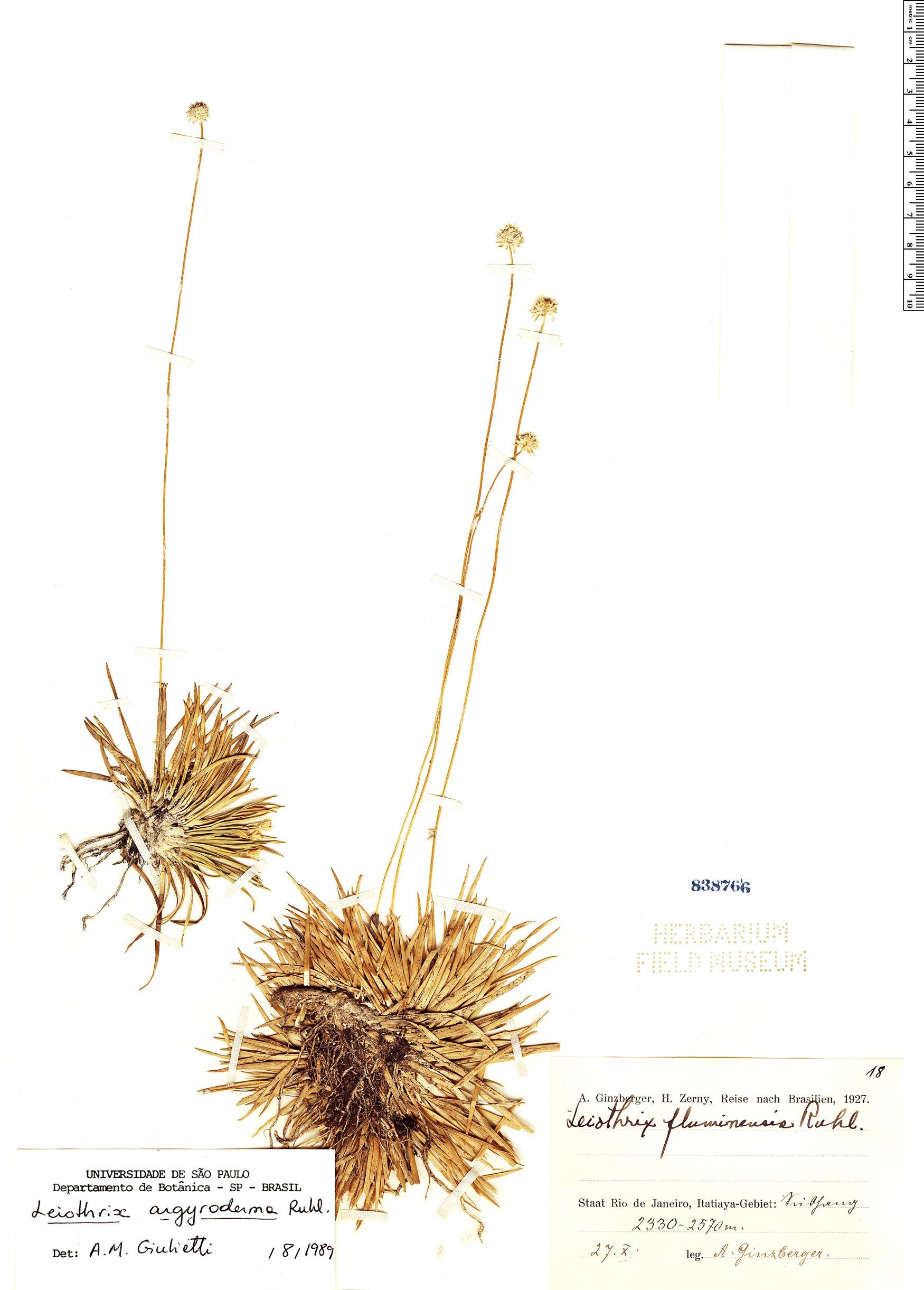 Specimen: Leiothrix argyroderma