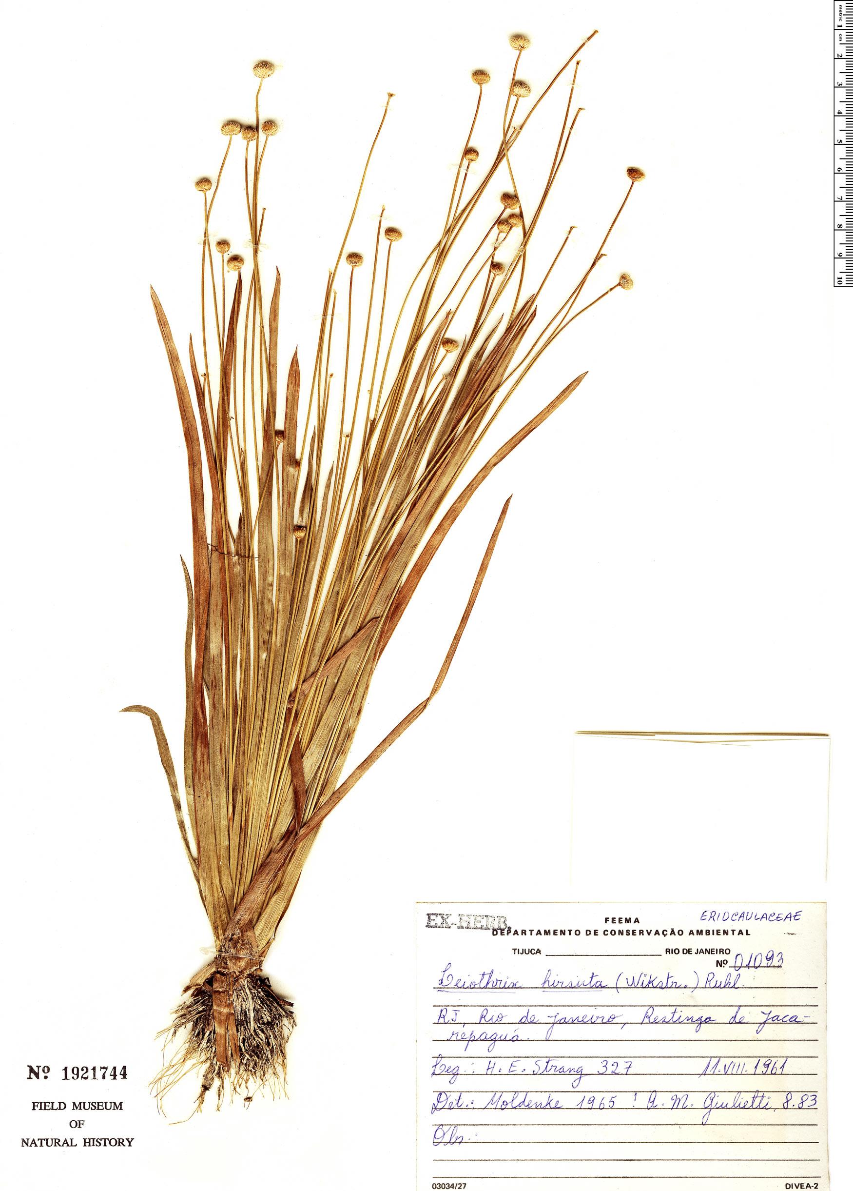 Specimen: Leiothrix hirsuta