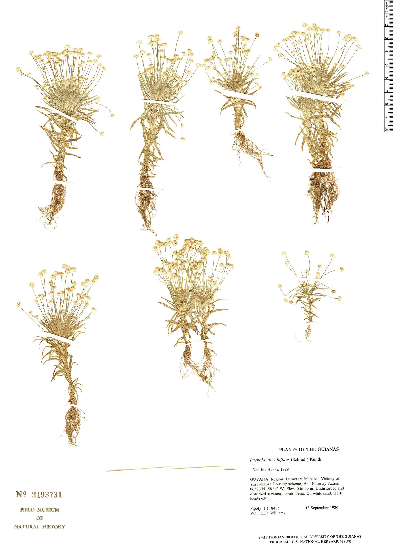 Specimen: Paepalanthus bifidus