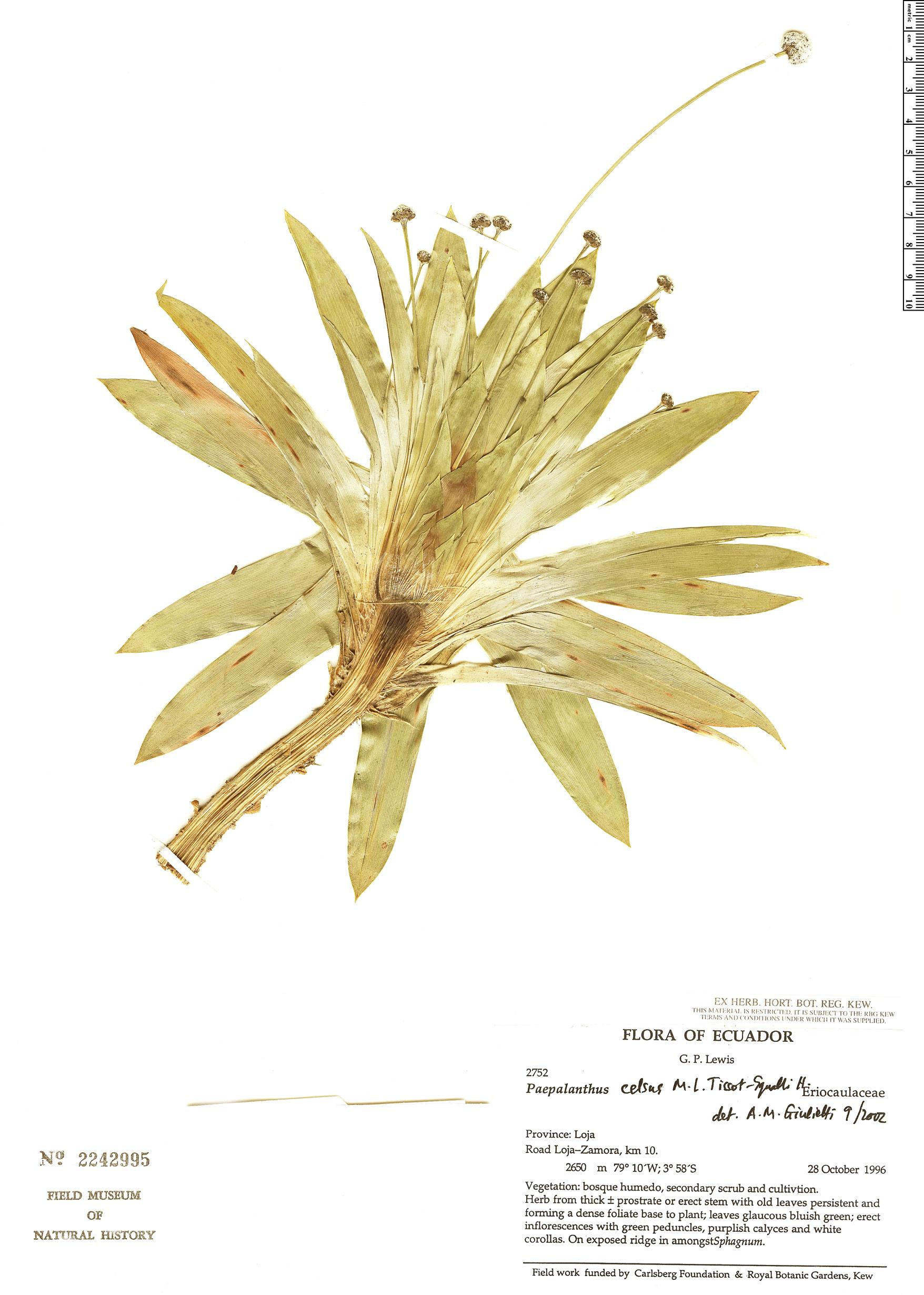 Specimen: Paepalanthus celsus