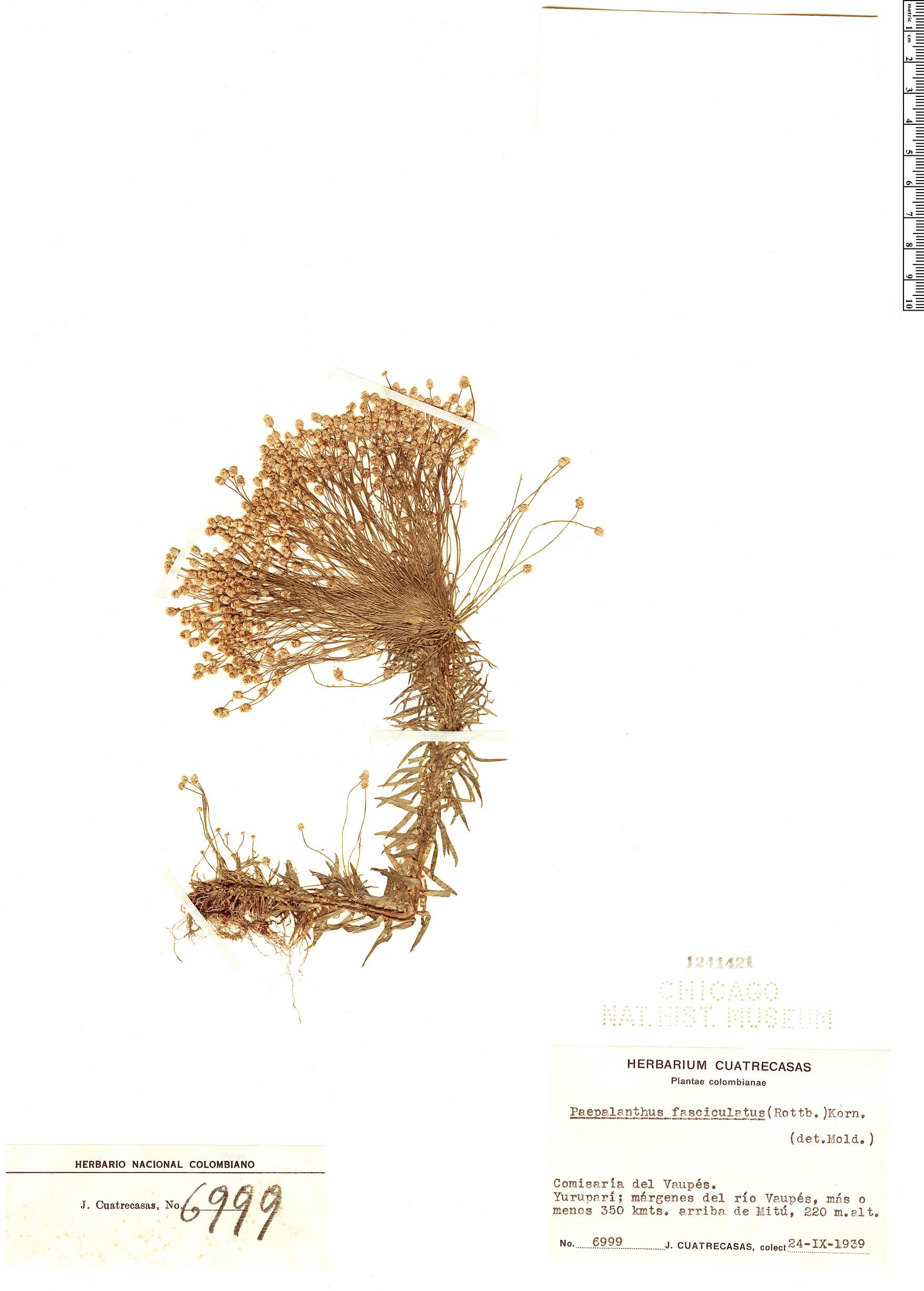 Specimen: Paepalanthus fasciculatus