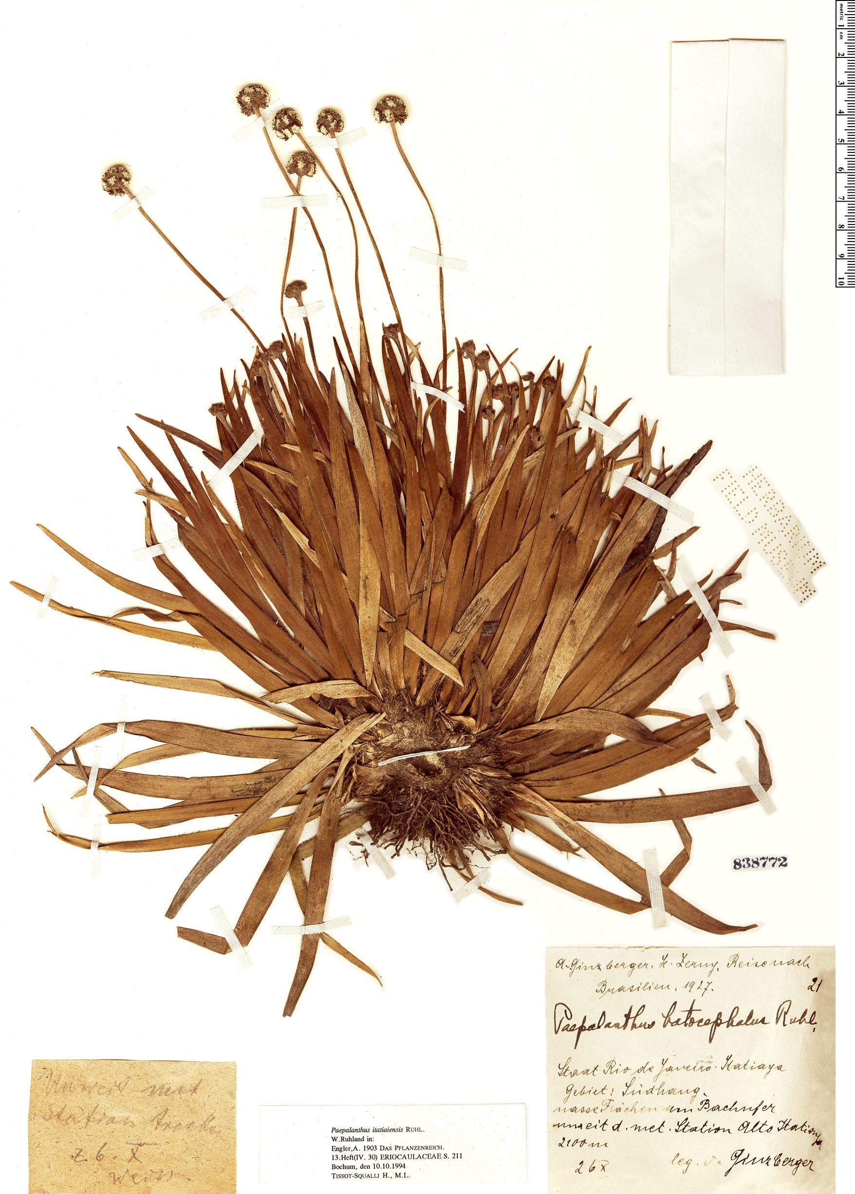 Specimen: Paepalanthus itatiaiensis