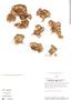 Paepalanthus pilosus image