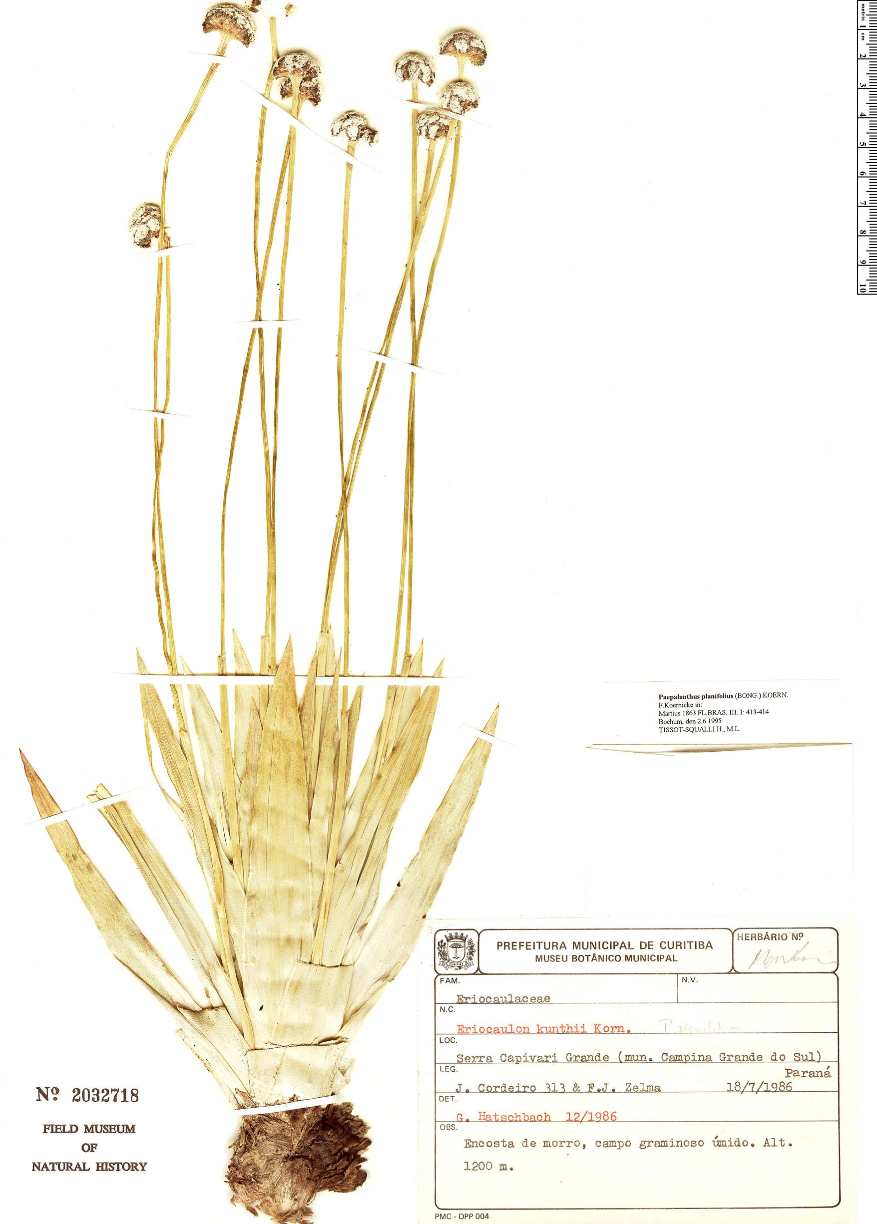 Specimen: Paepalanthus planifolius