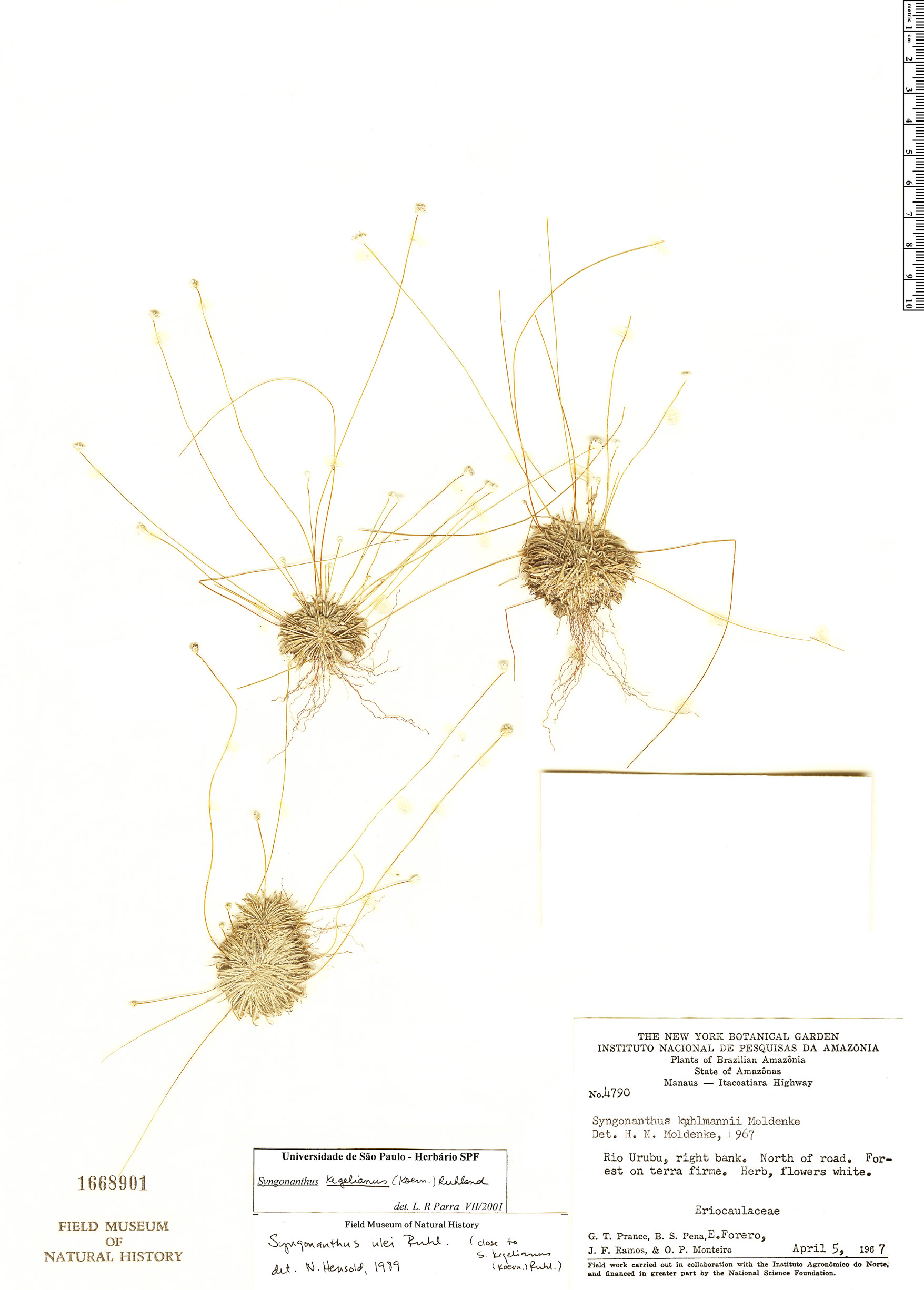 Specimen: Comanthera kegeliana