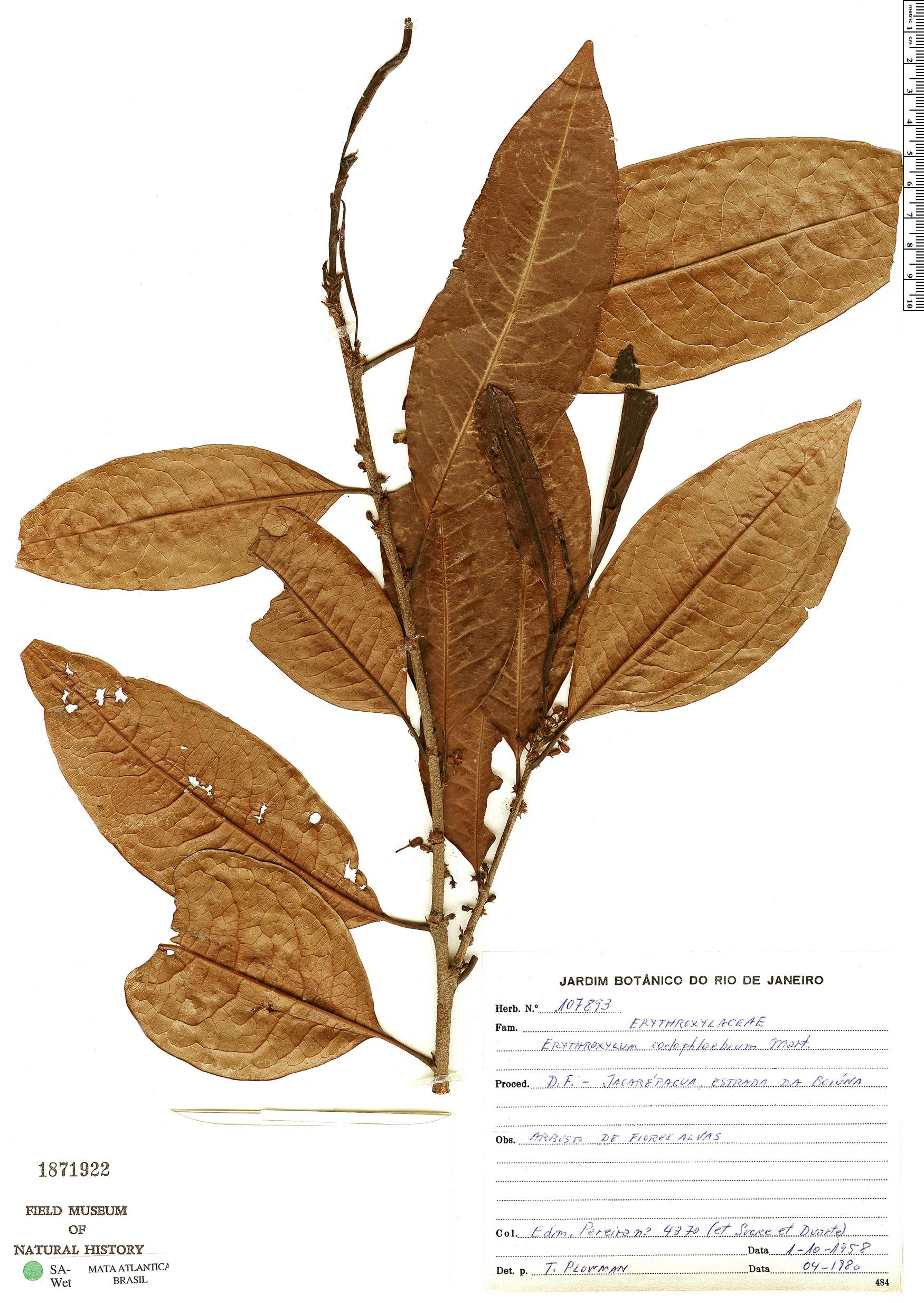 Espécime: Erythroxylum coelophlebium