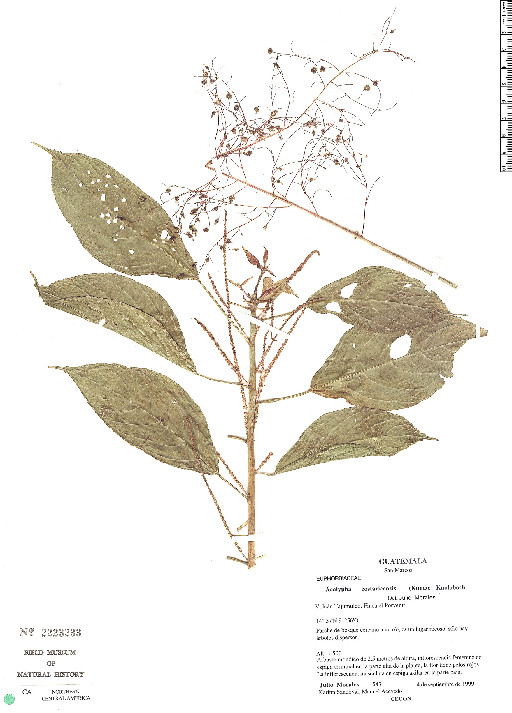 Acalypha costaricensis image