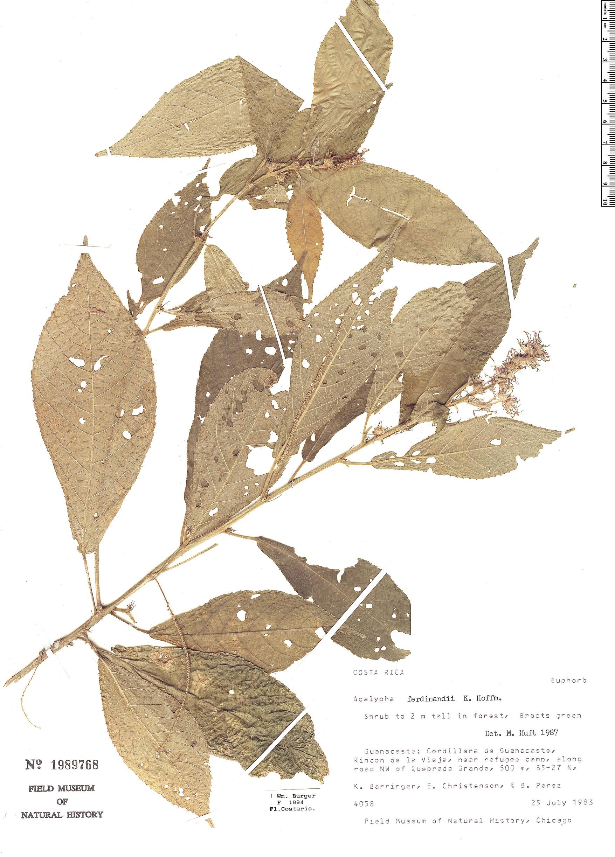 Specimen: Acalypha ferdinandii