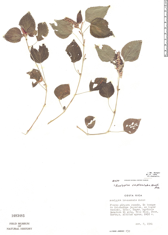 Specimen: Acalypha septemloba