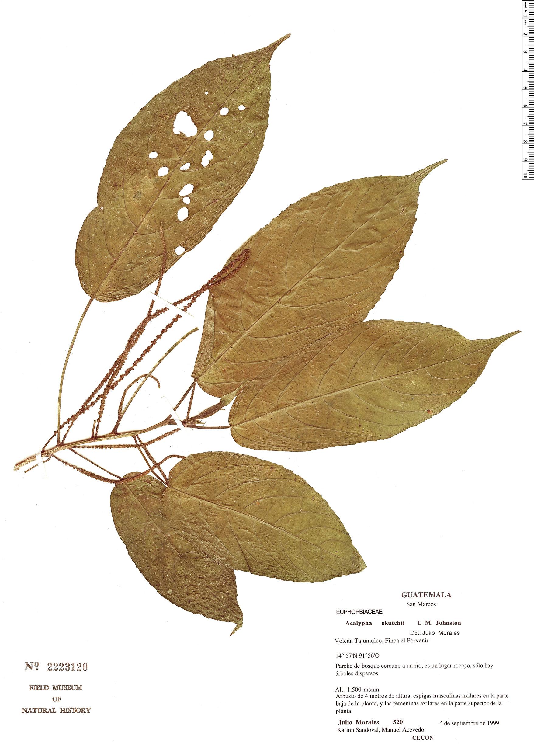 Specimen: Acalypha skutchii