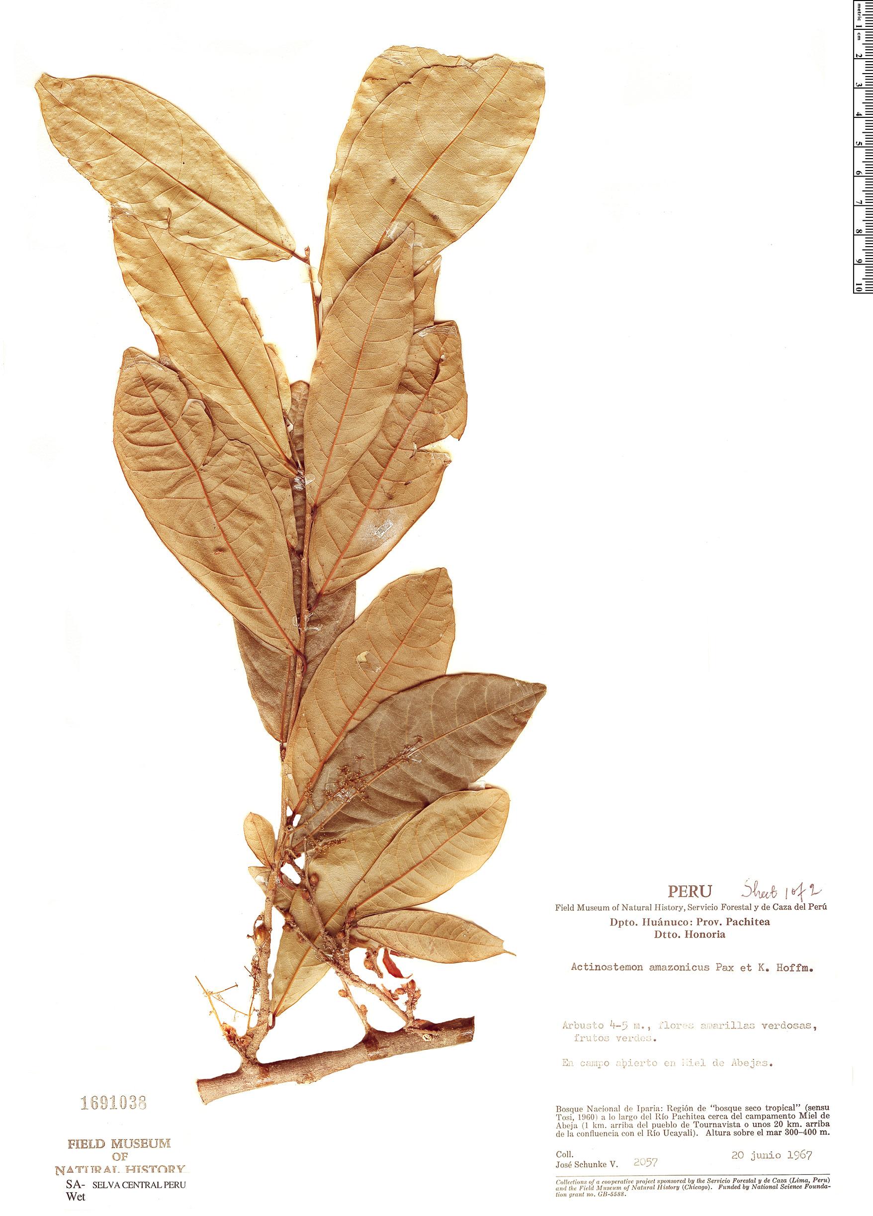 Specimen: Actinostemon amazonicus