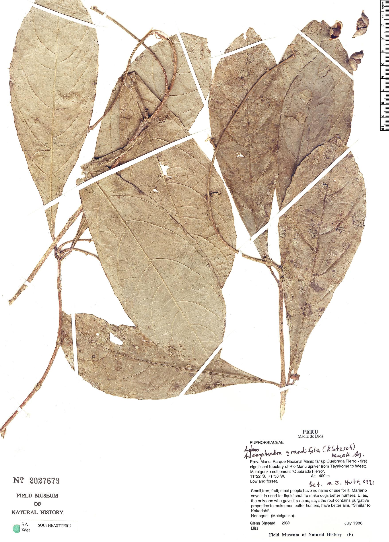 Specimen: Adenophaedra grandifolia