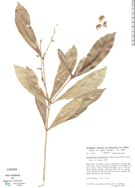 Espécimen: Adenophaedra megalophylla