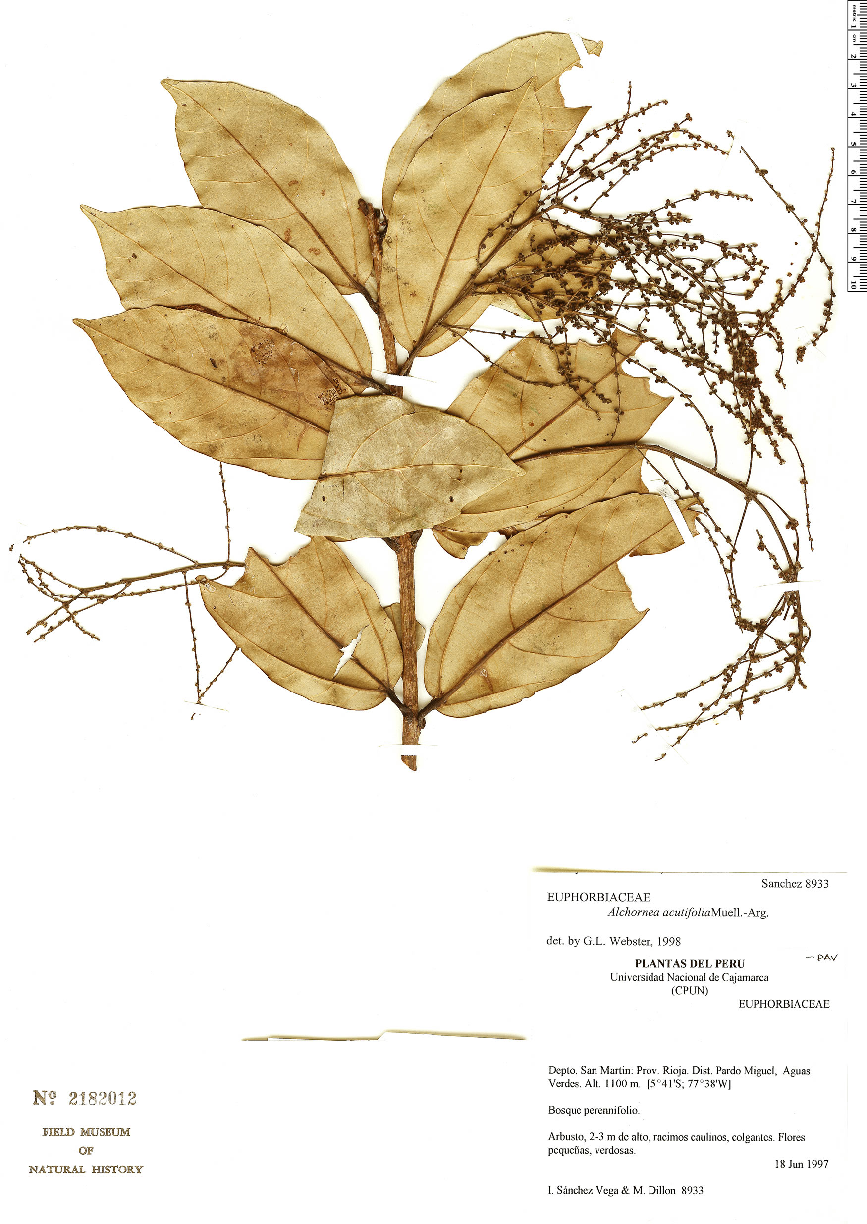 Specimen: Alchornea acutifolia