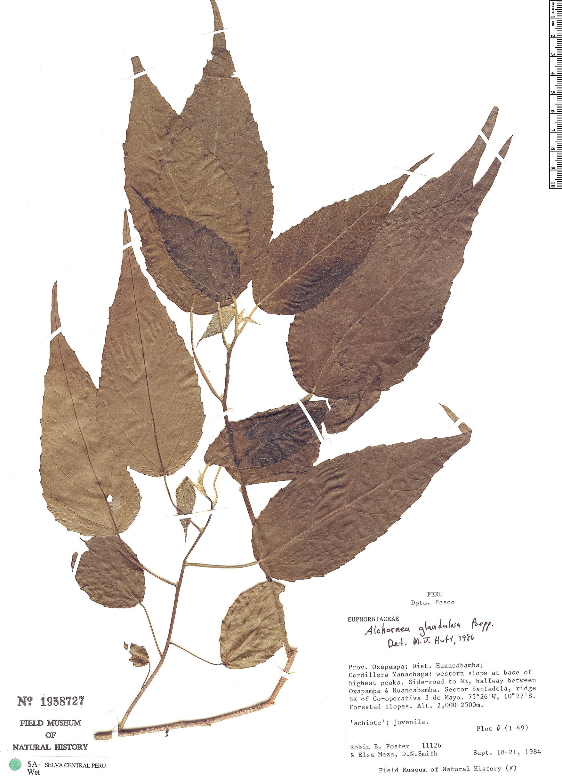 Specimen: Alchornea glandulosa