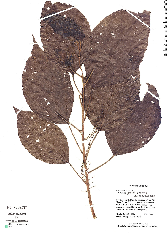 Espécimen: Alchornea grandiflora