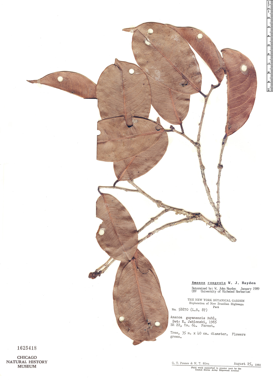 Espécime: Amanoa congesta