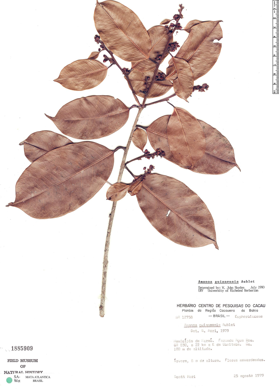 Specimen: Amanoa guianensis