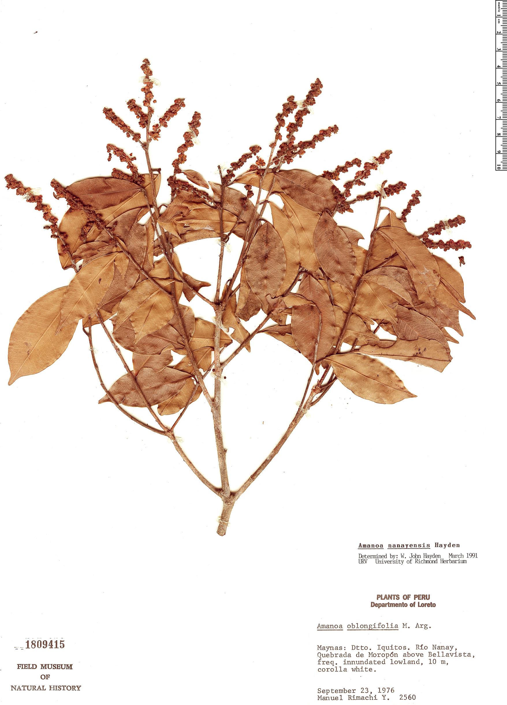 Specimen: Amanoa nanayensis