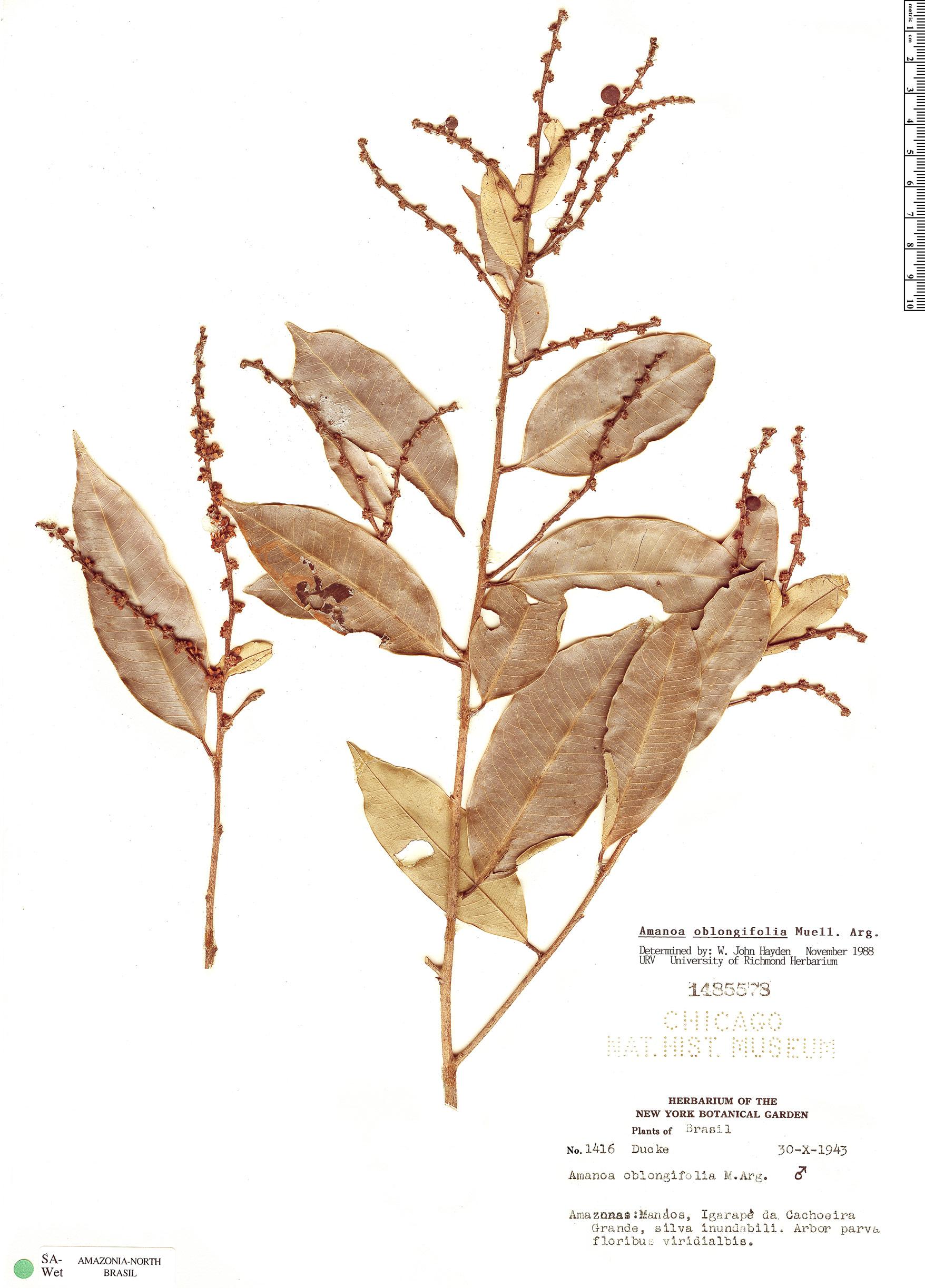 Specimen: Amanoa oblongifolia