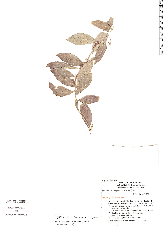 Espécime: Argythamnia ecdyomena