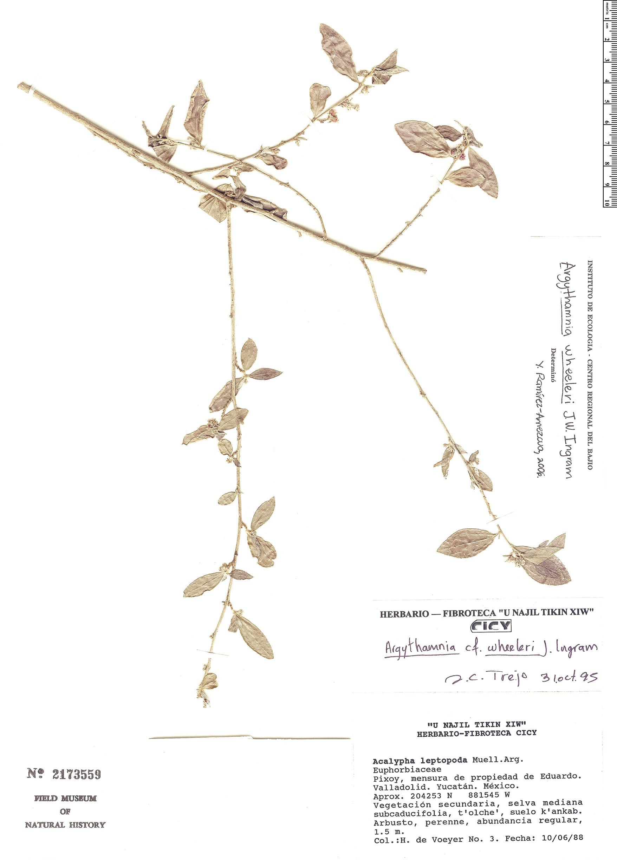 Specimen: Argythamnia wheeleri
