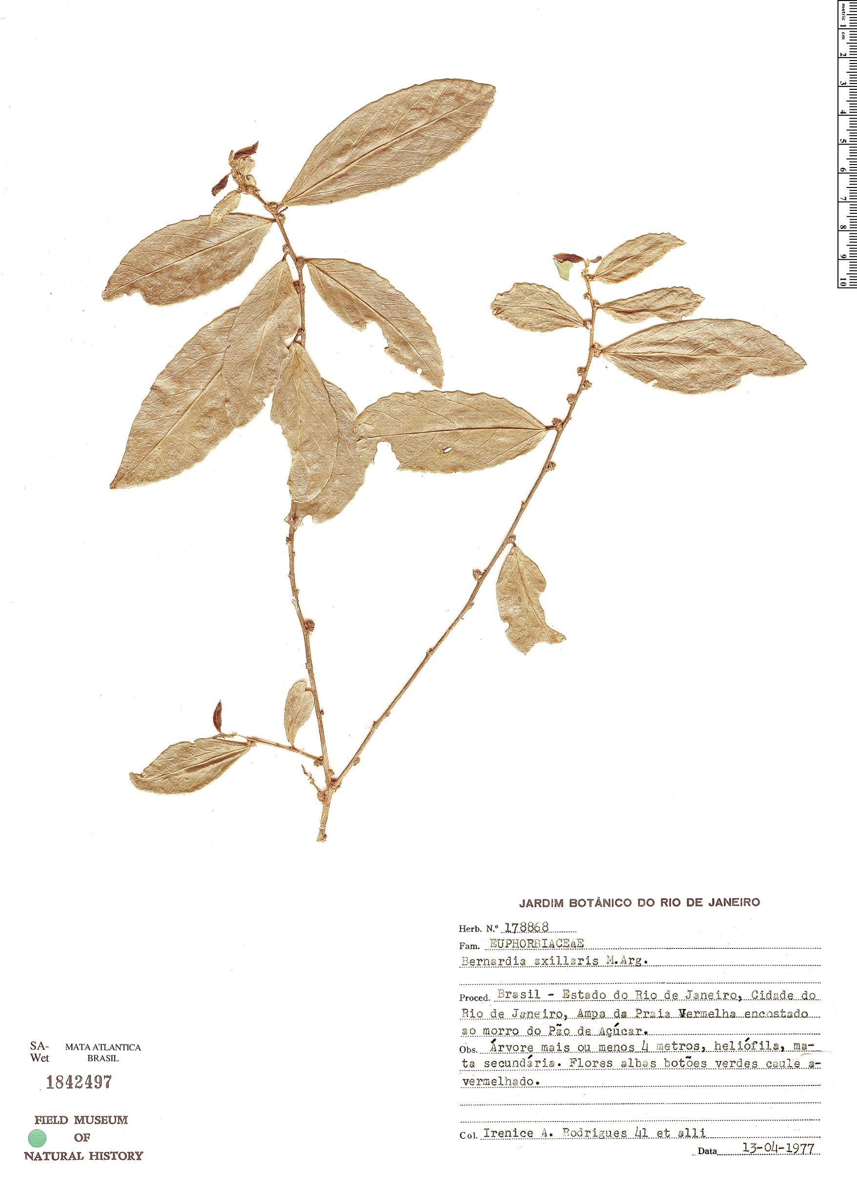 Specimen: Bernardia axillaris