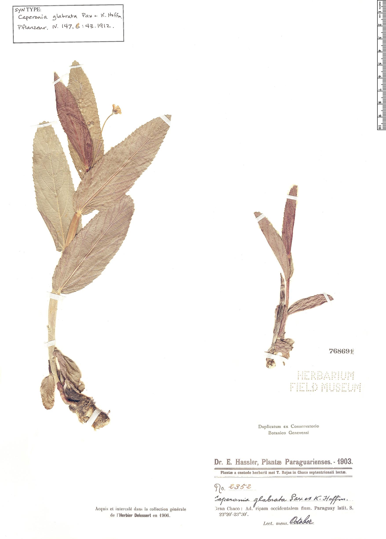 Espécime: Caperonia glabrata