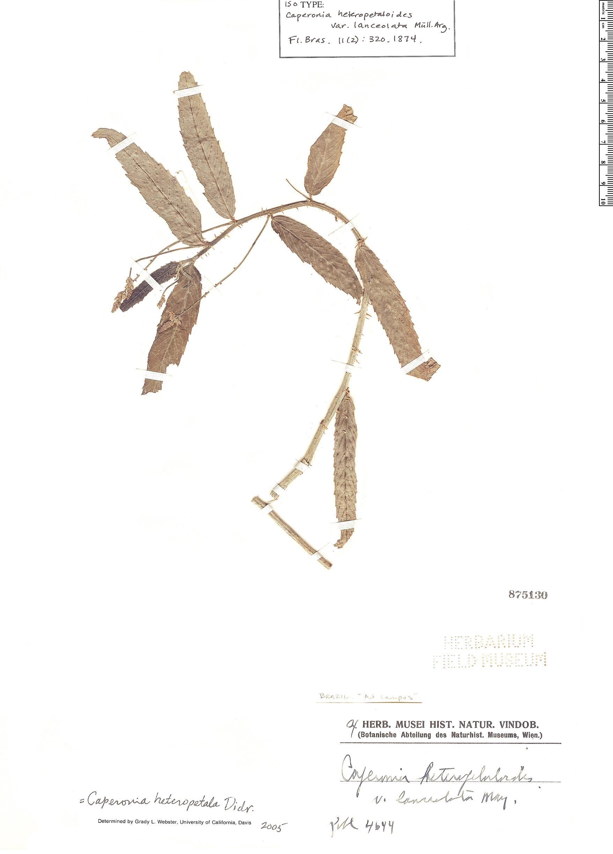 Espécimen: Caperonia heteropetala